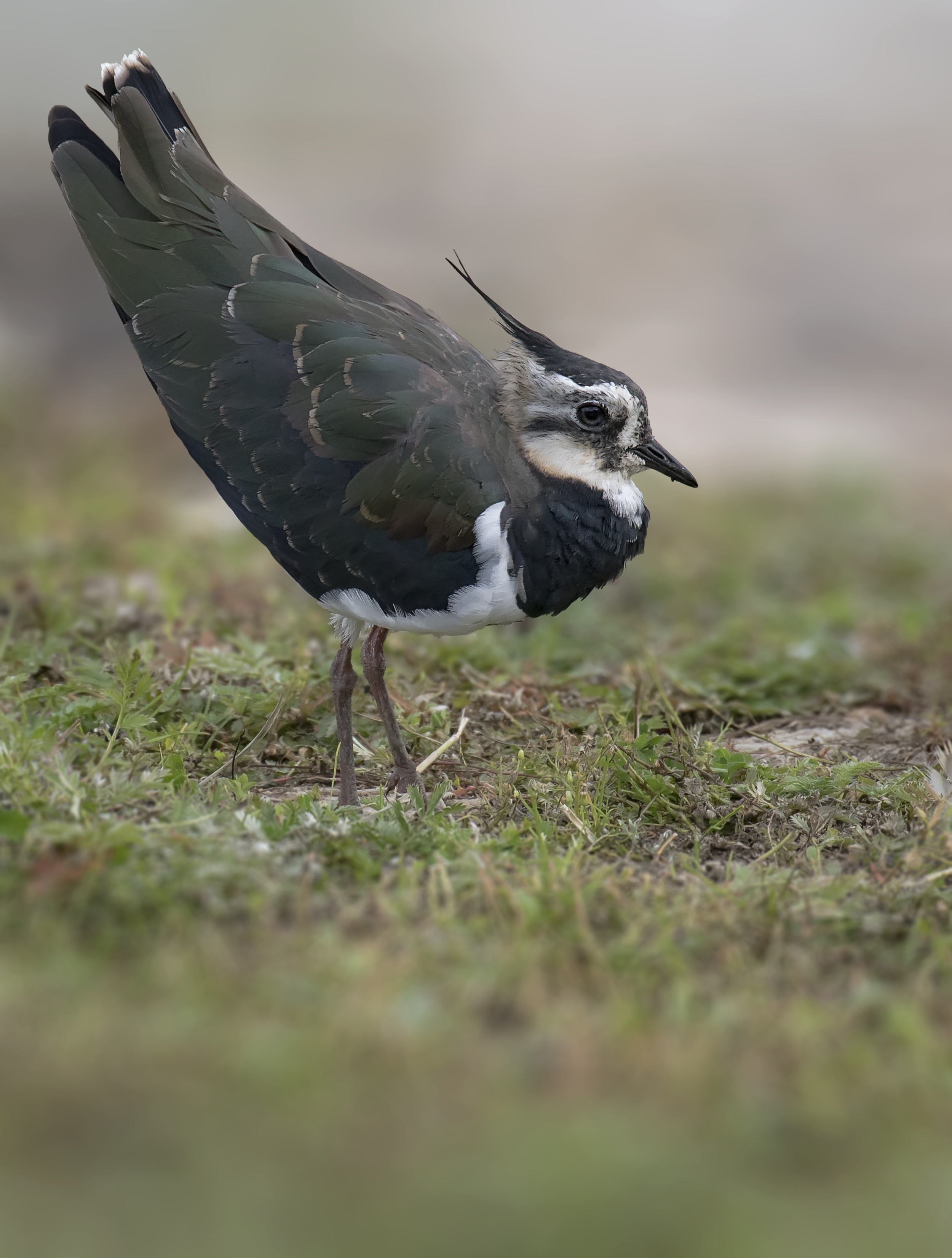 Lapwing Portrait 13th September.png