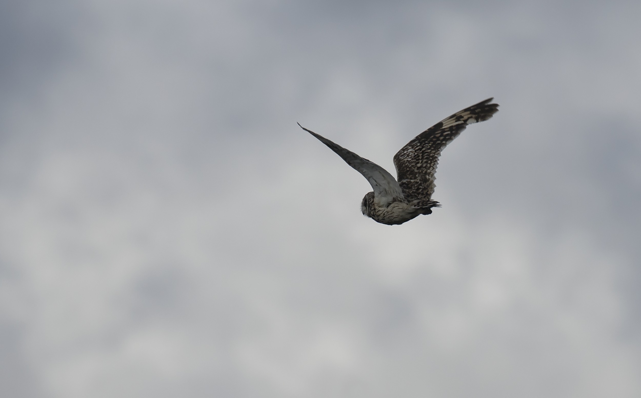 Short Eared Owl 18th September.png