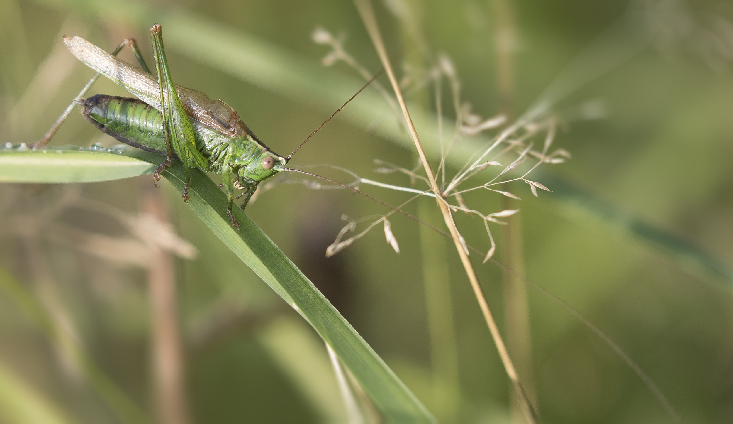 Long-winged Conehead 19th September.png