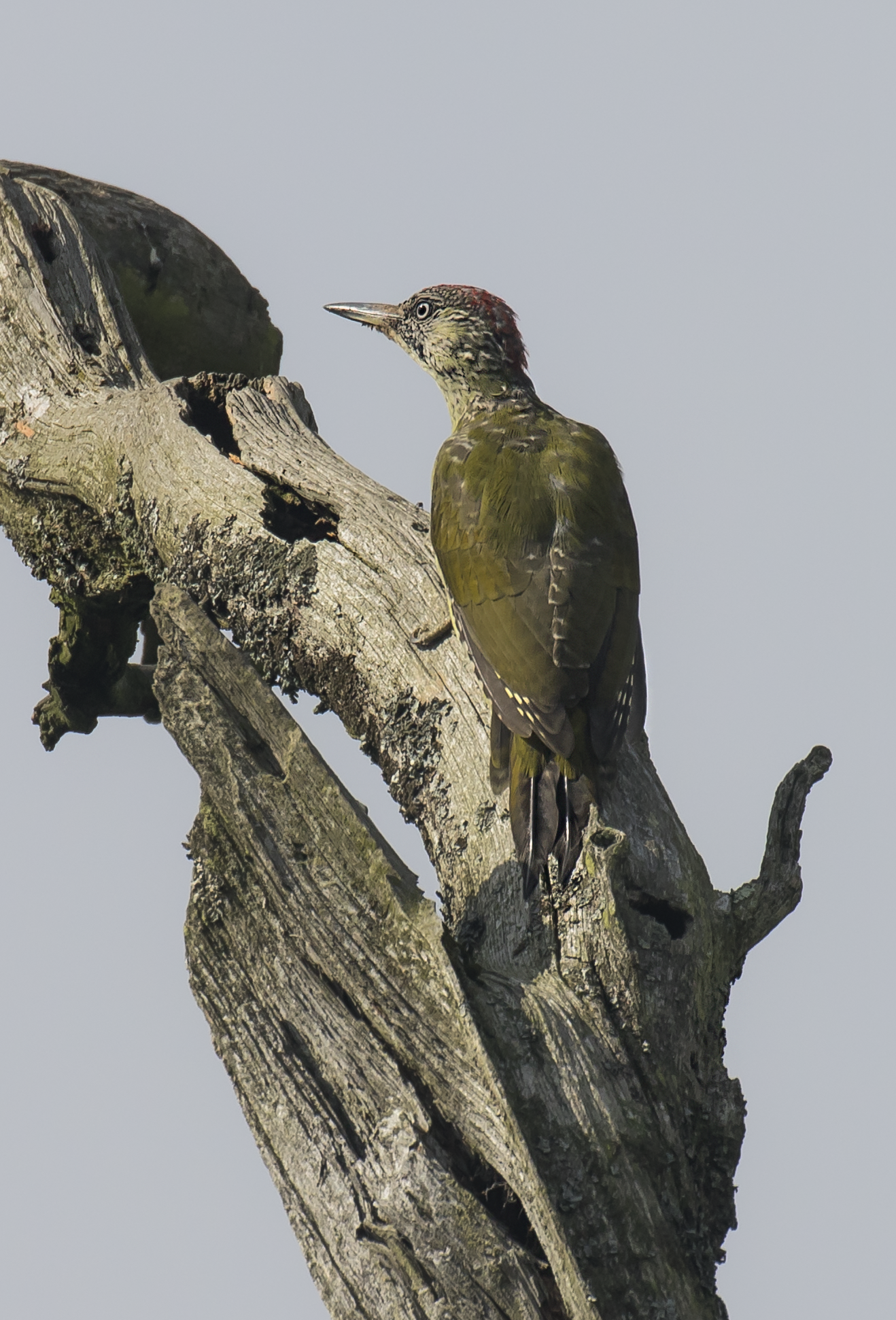 Green Woodpecker 20th September.png