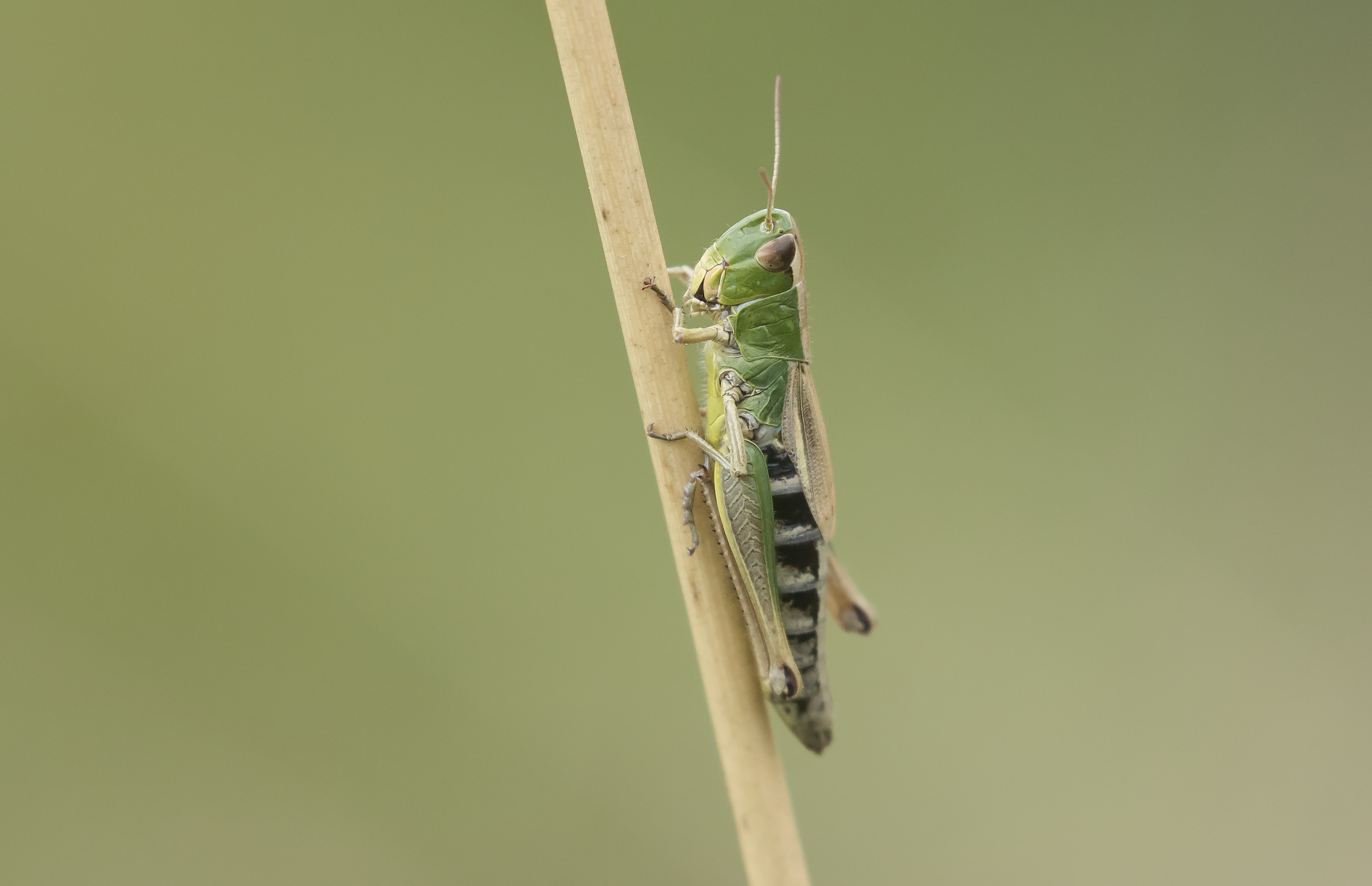 Meadow Grasshopper 20th September.png