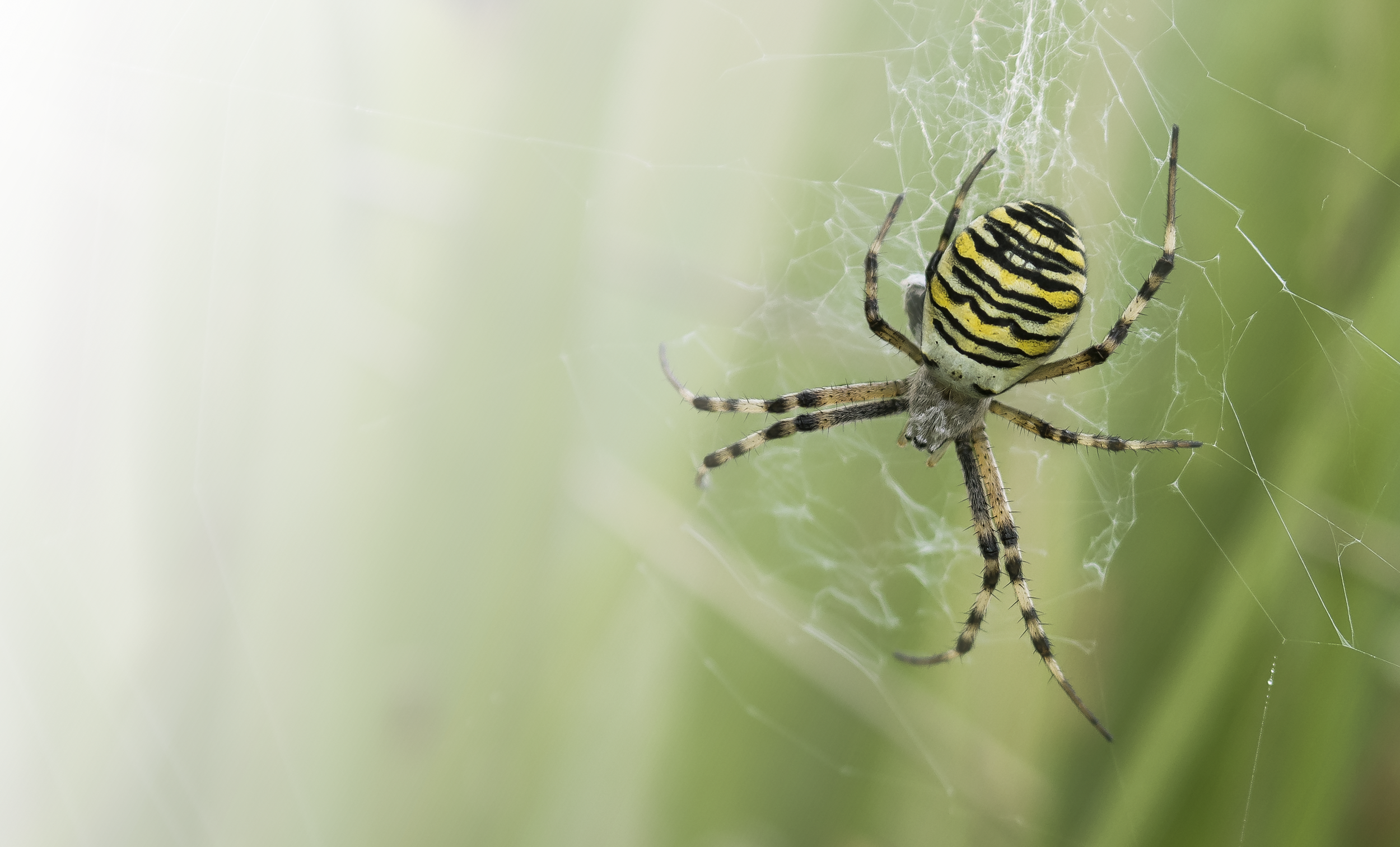 Wasp Spider 20th September.png
