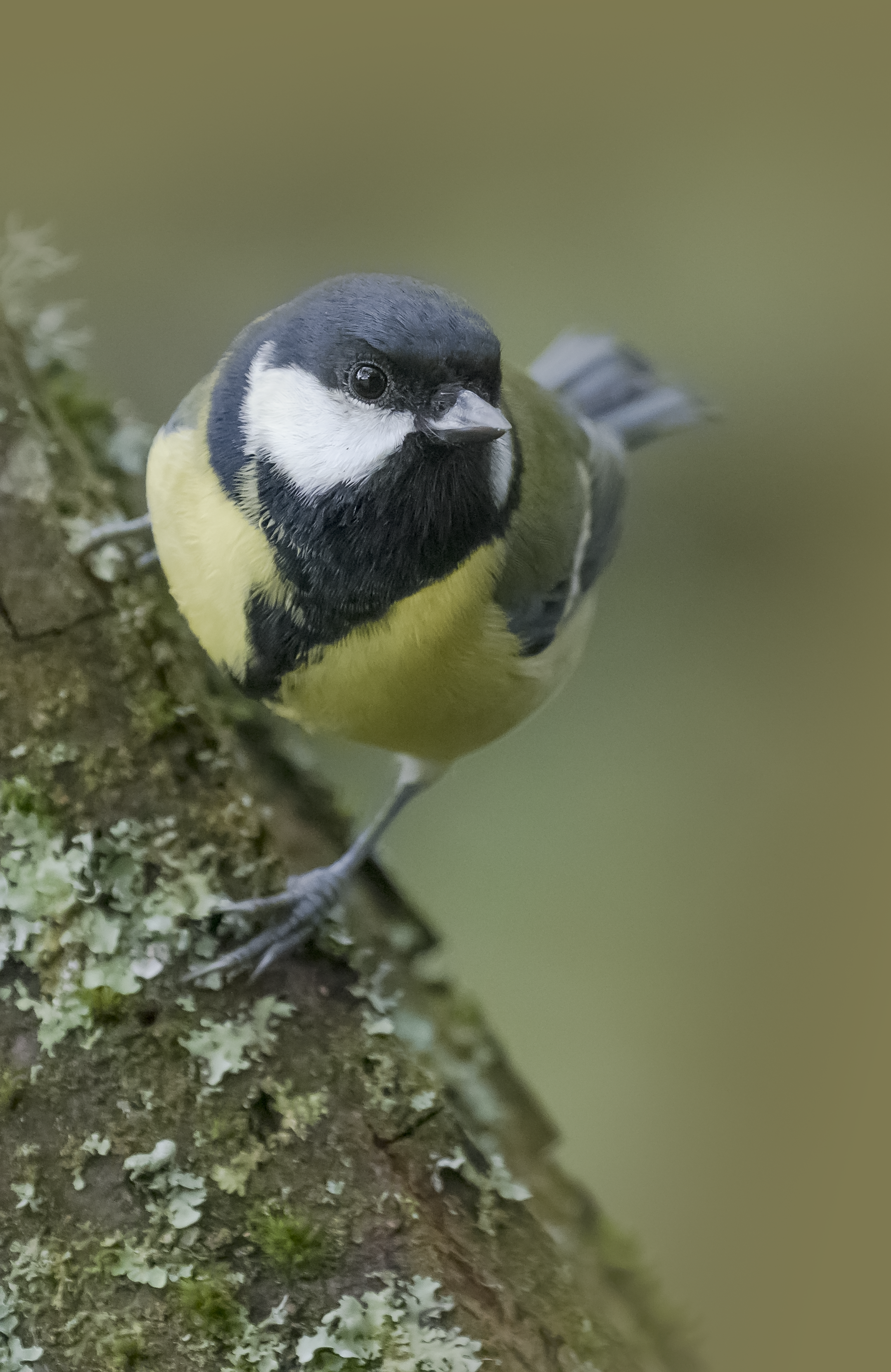 Great Tit Face 25th September.png