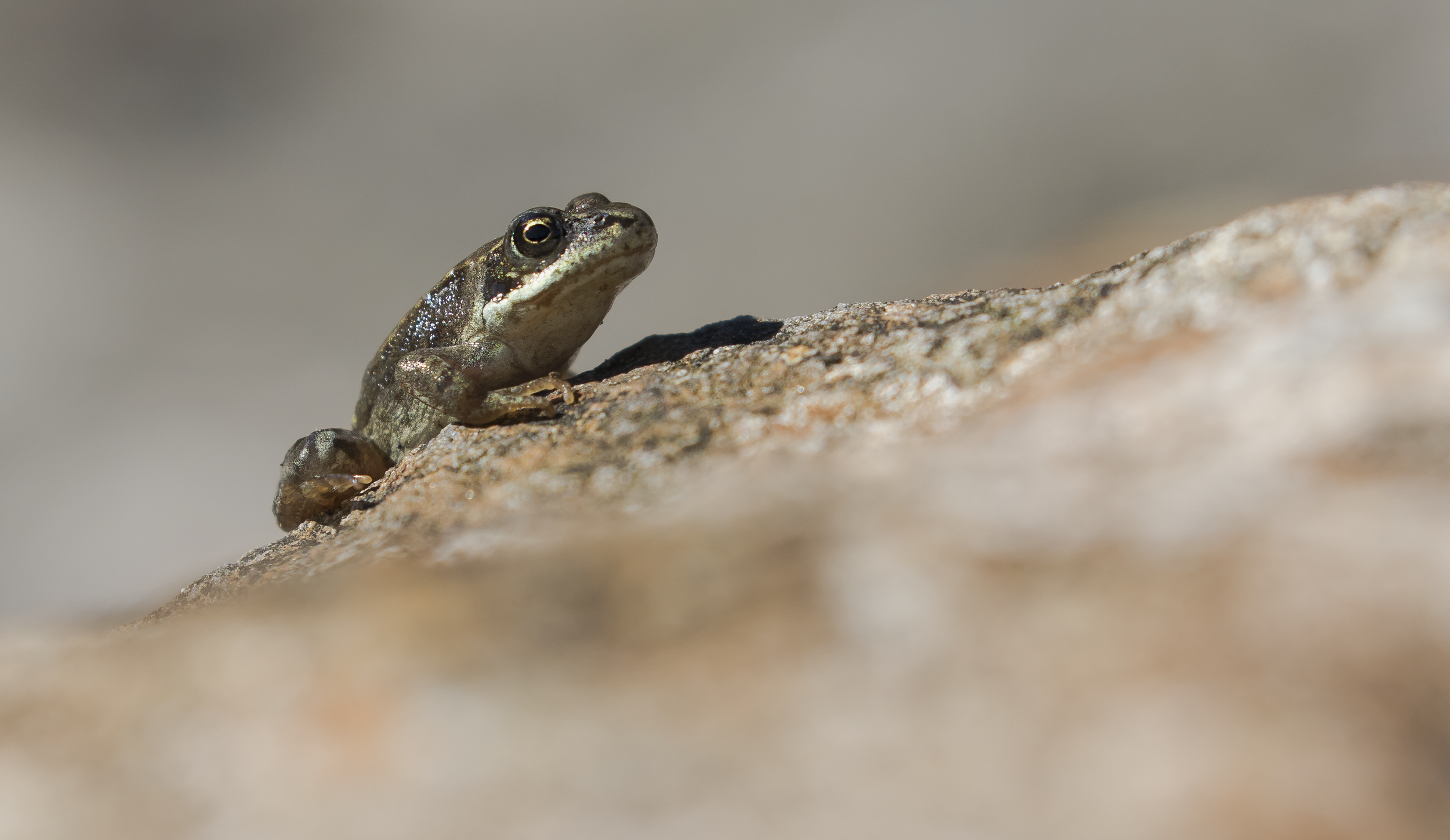 Common Froglet 26th September.png