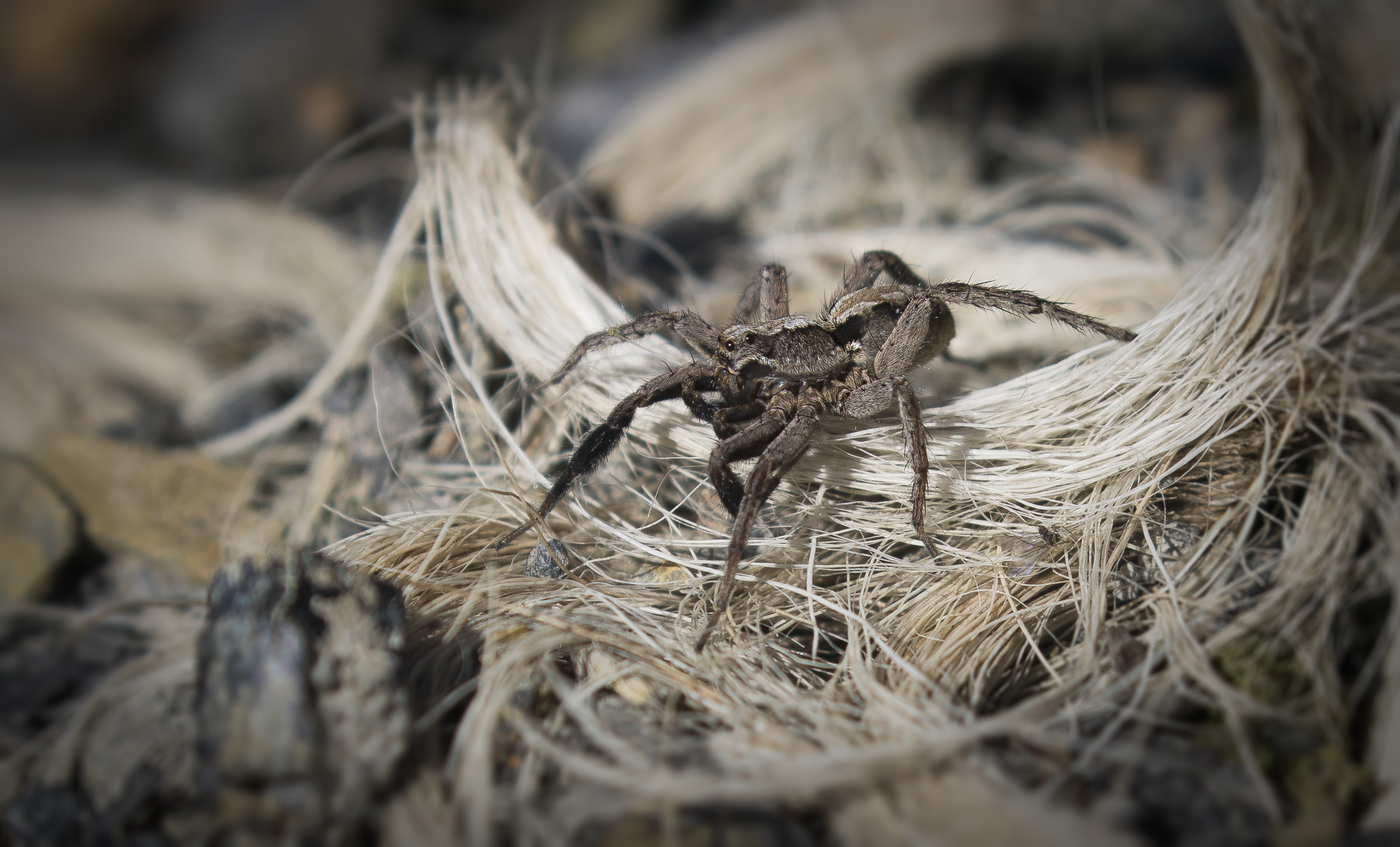 Wolf Spider 26th September.png