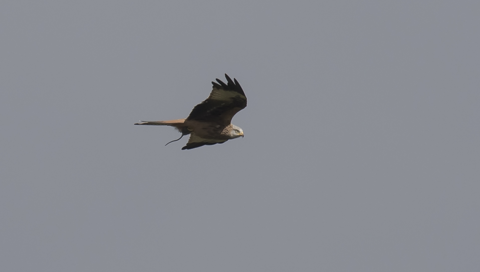 Redkite with Mouse 27th September.jpg