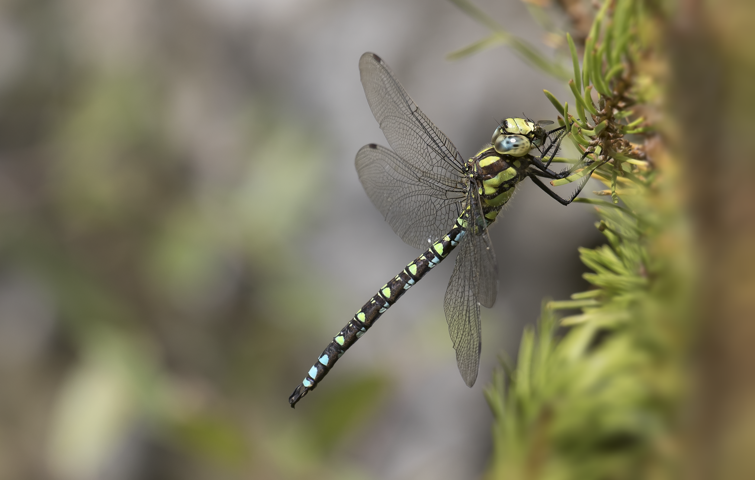 Southern Hawker 27th September.png