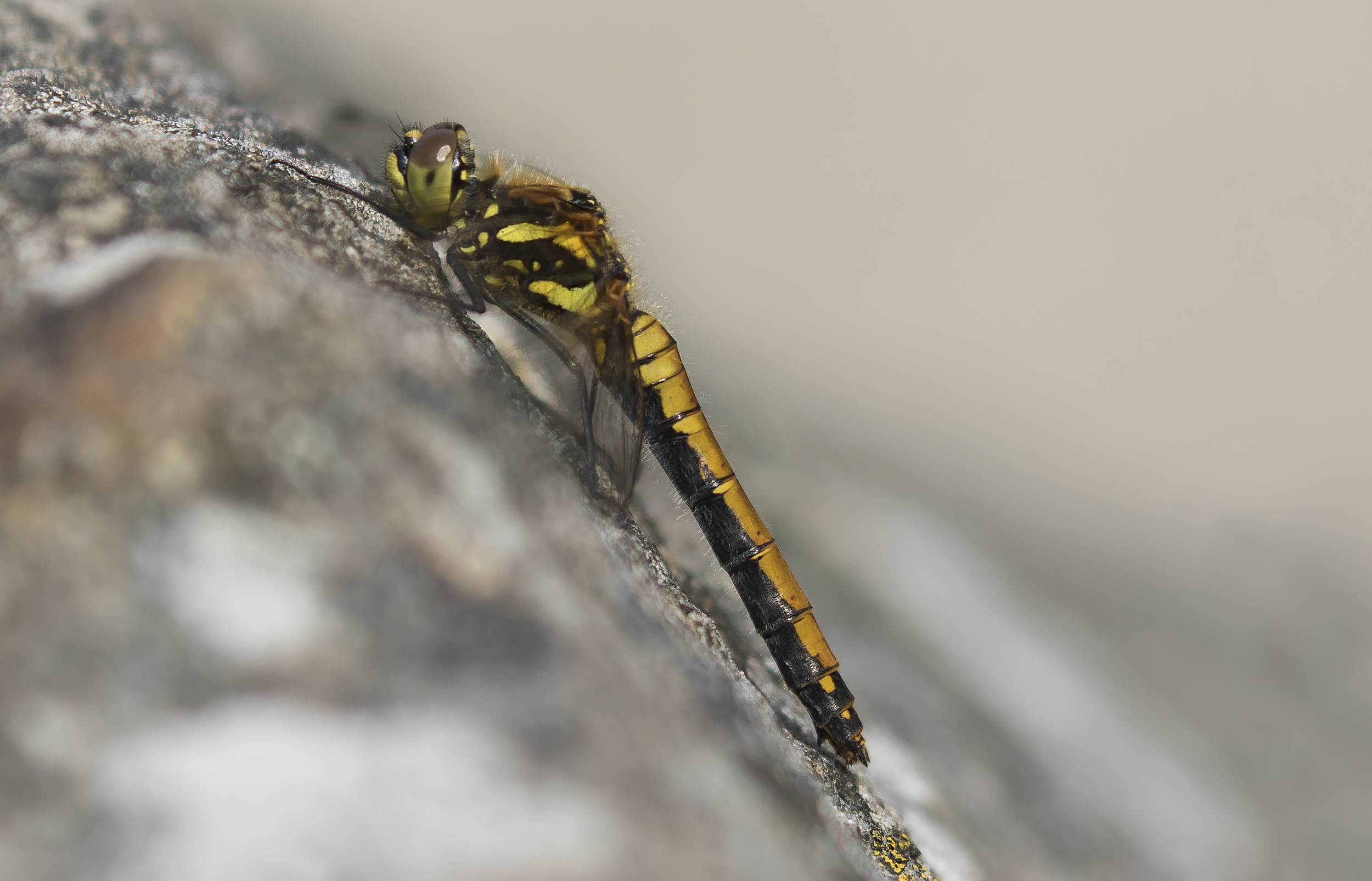 Female Black Darter 27th September.png