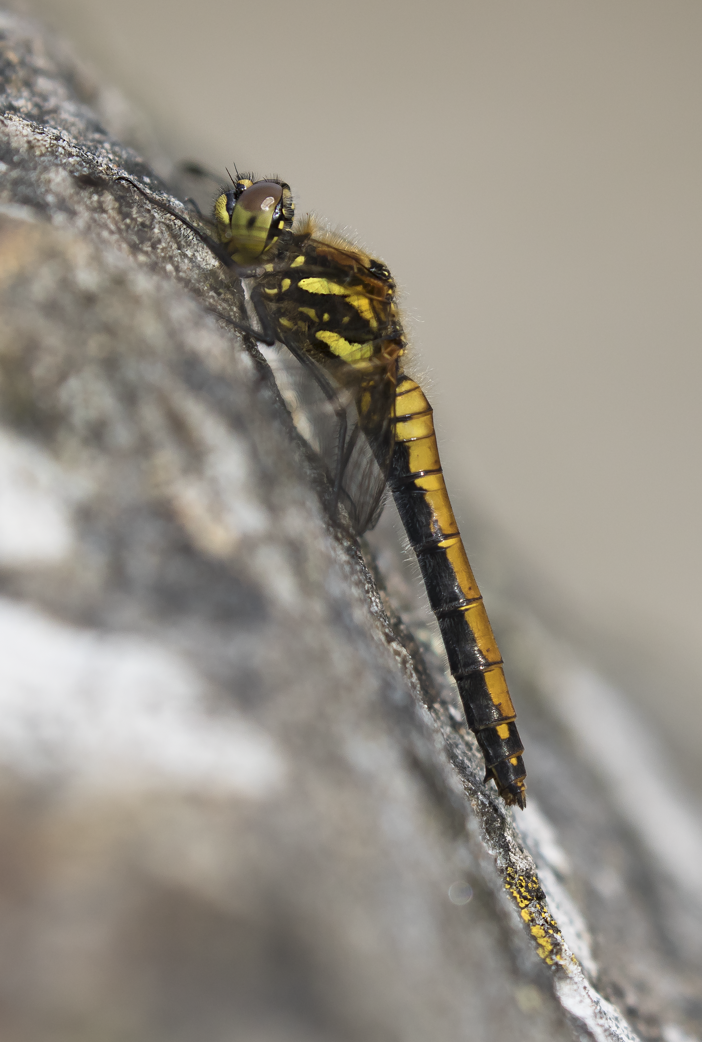 Black Darter Portrate 27th September.png