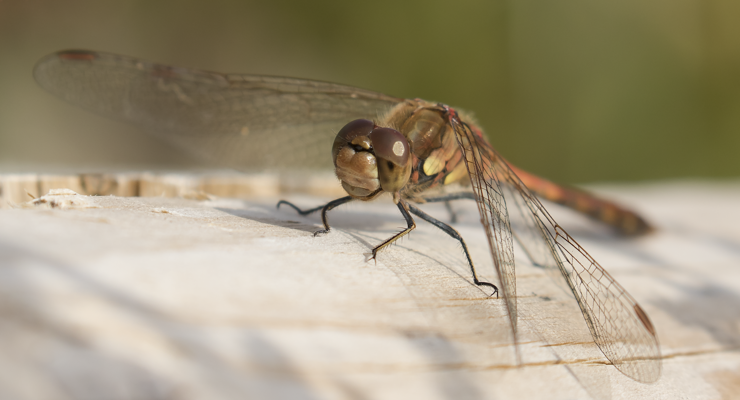 Common Darter 1st October.png