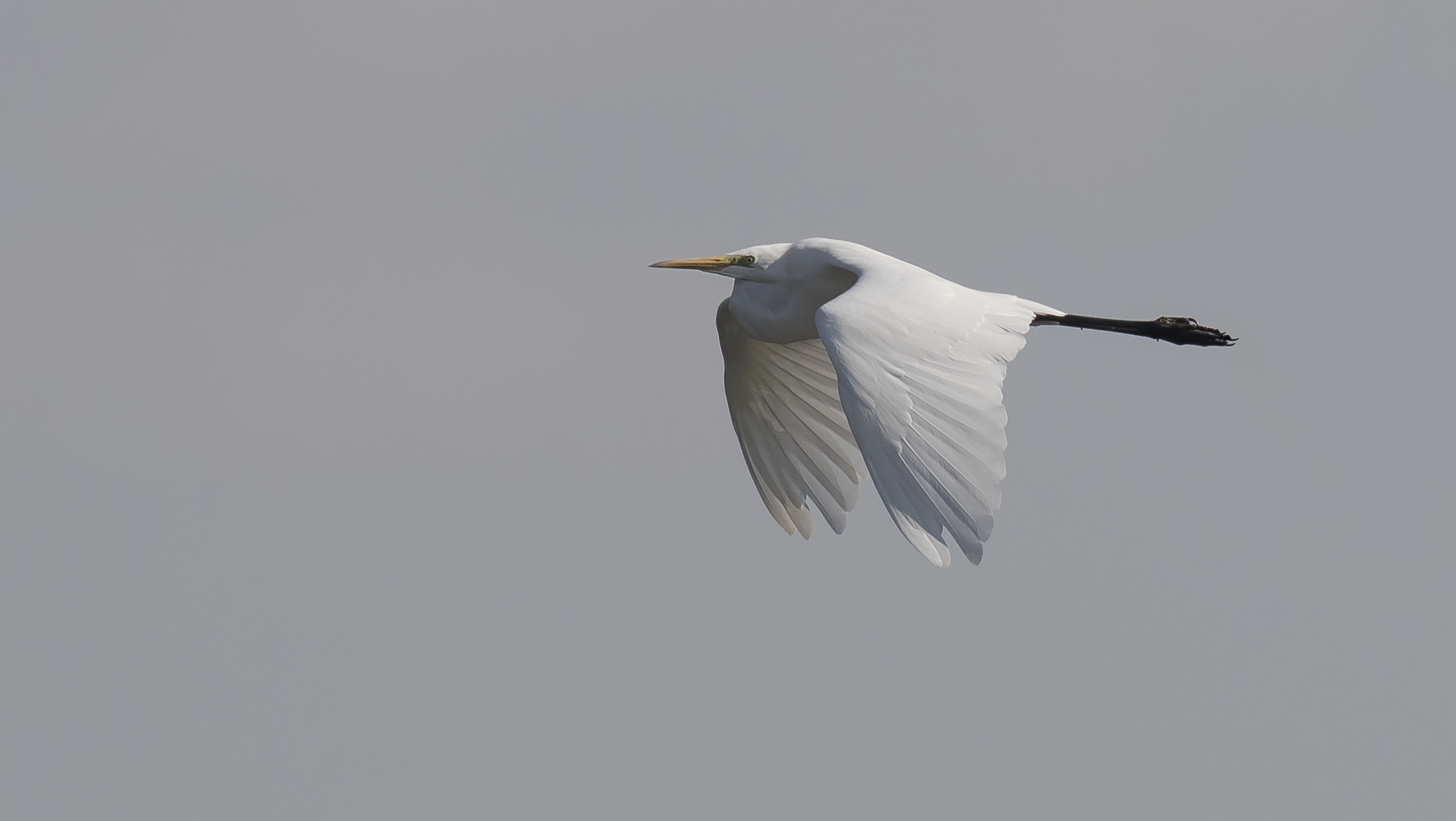 Great White Egret 1st October.png