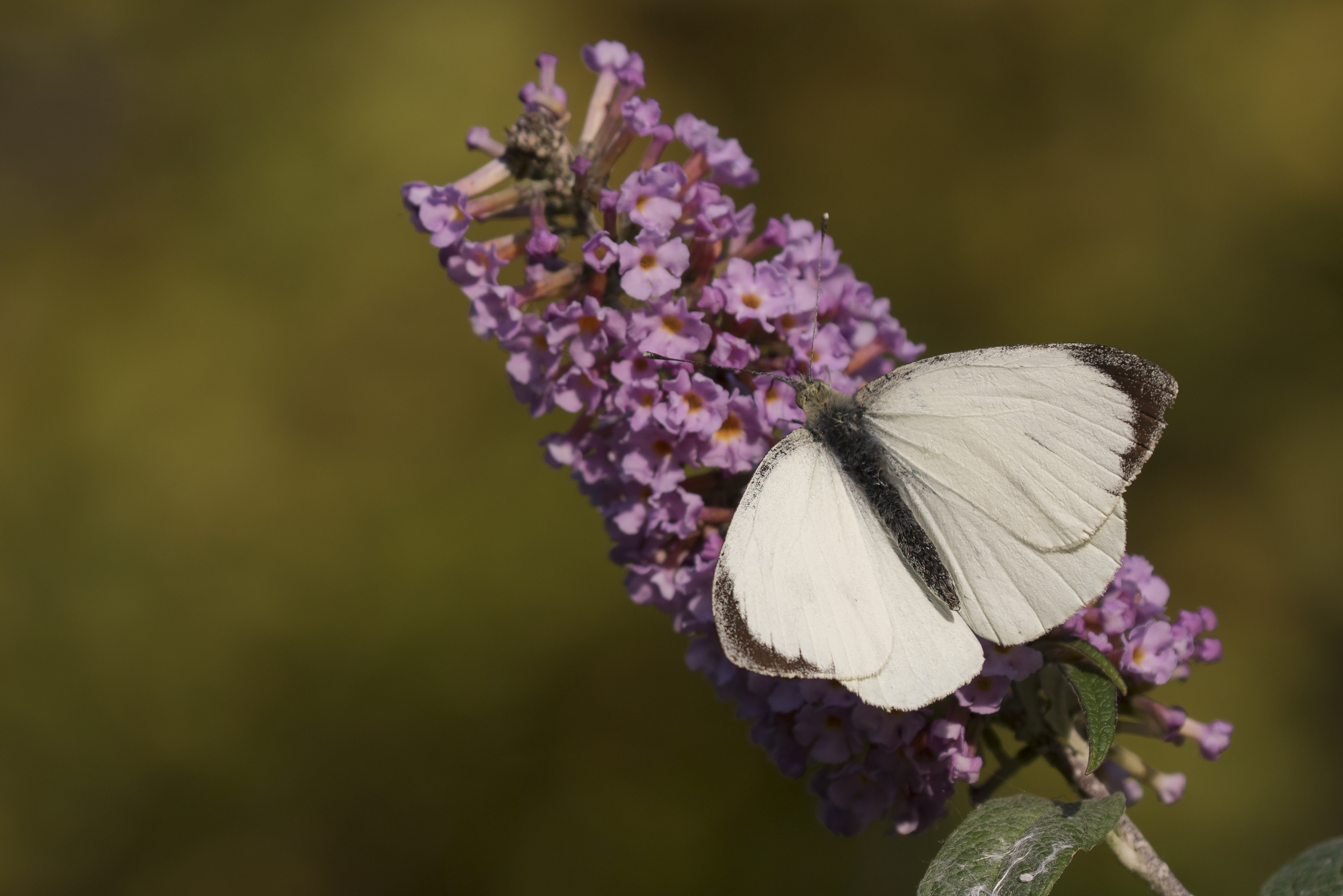 Large White 9th October.png