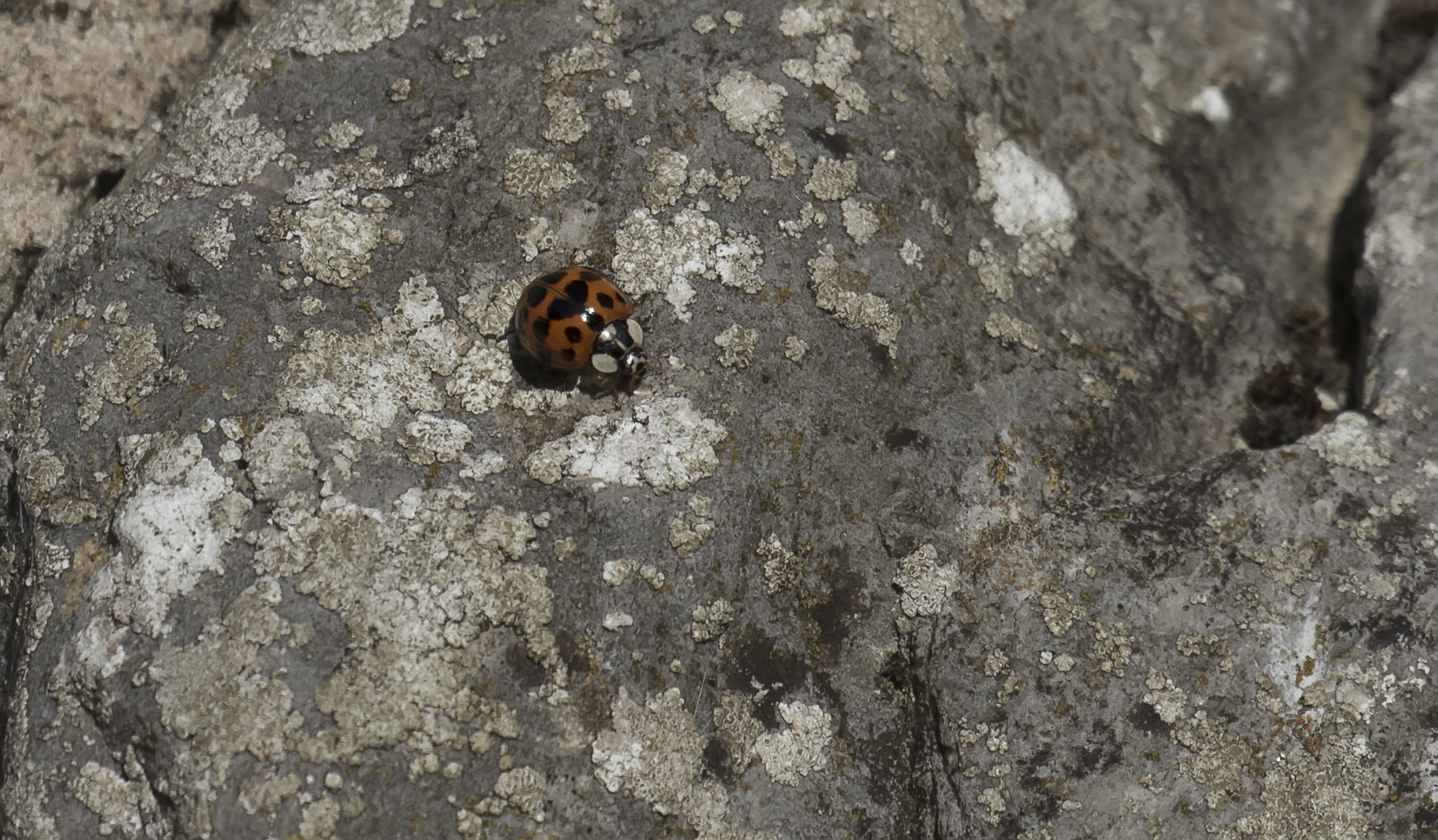 Harlequin Ladybird 9th October.png