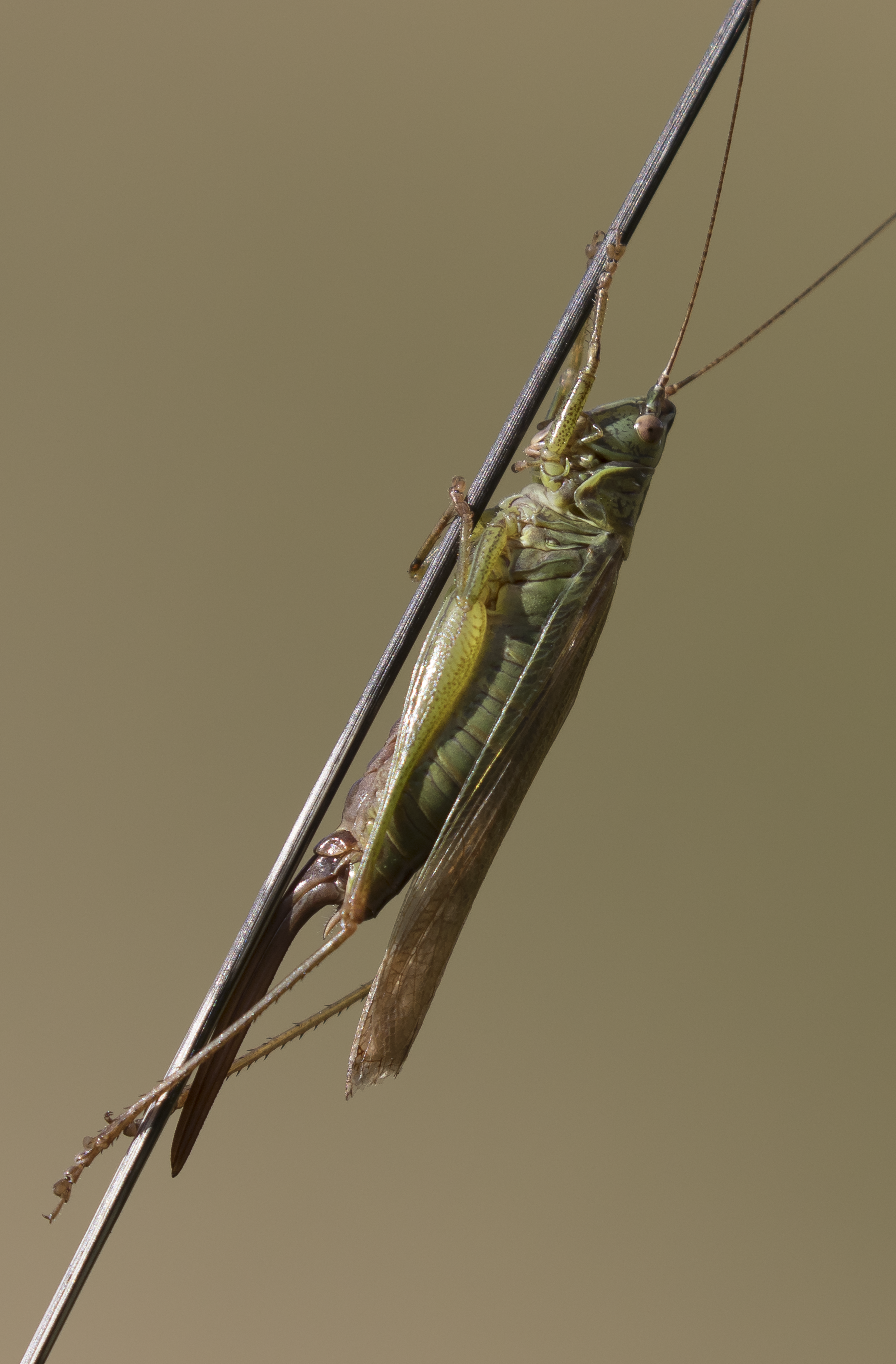 Long-winged Conehead 9th October.png