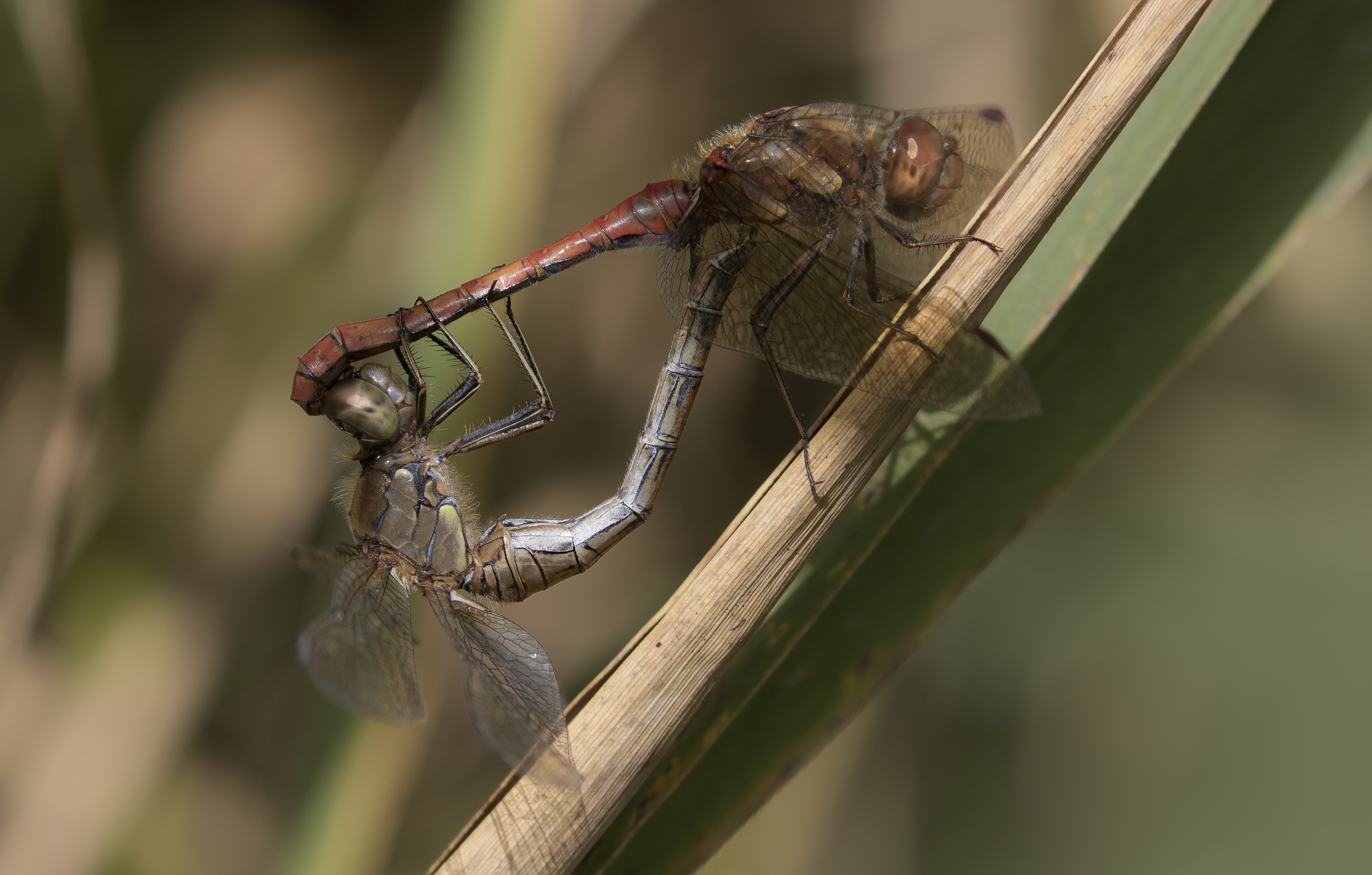 Common Darter Pair 9th October.png