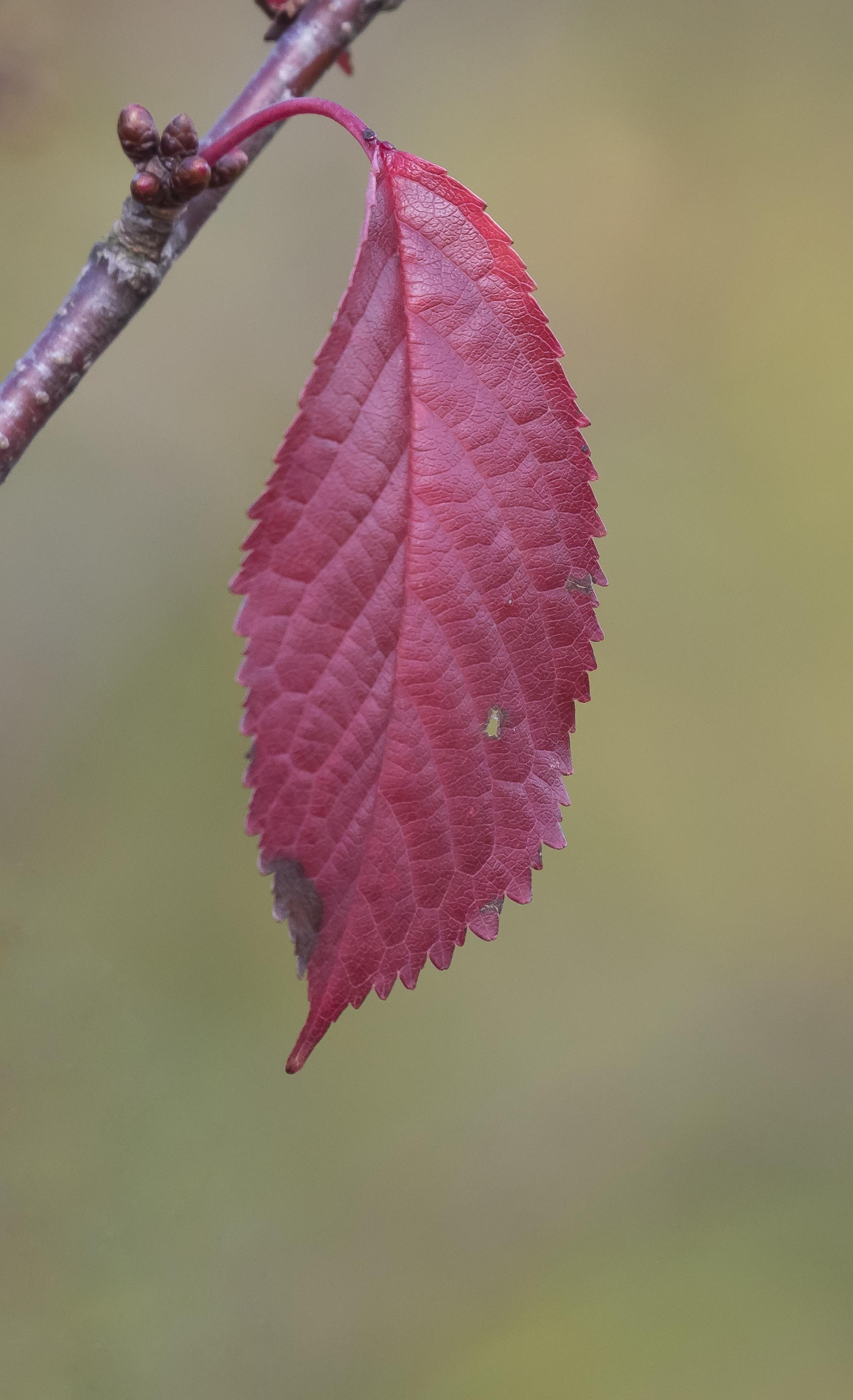 Red Leaf 9th October.png