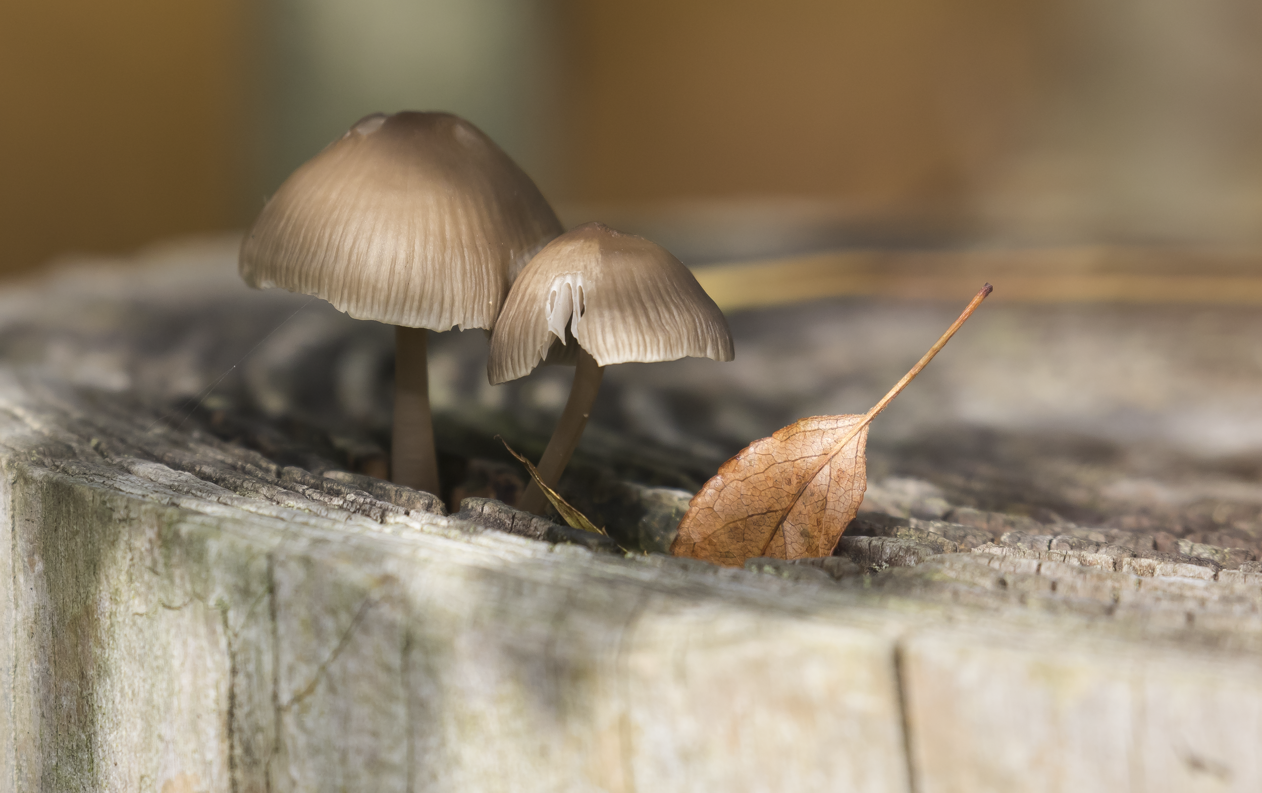Autumn Mushroom in Fence Post 9th October.png
