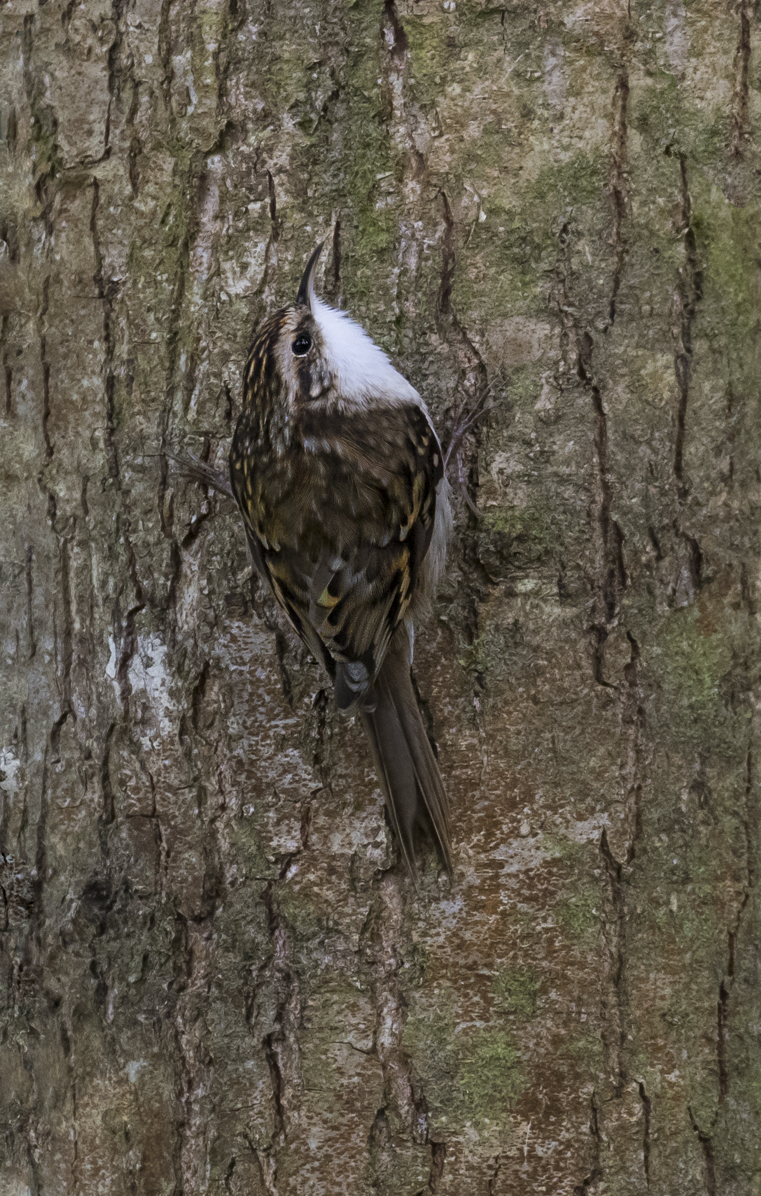 Tree Creeper 11th October.png