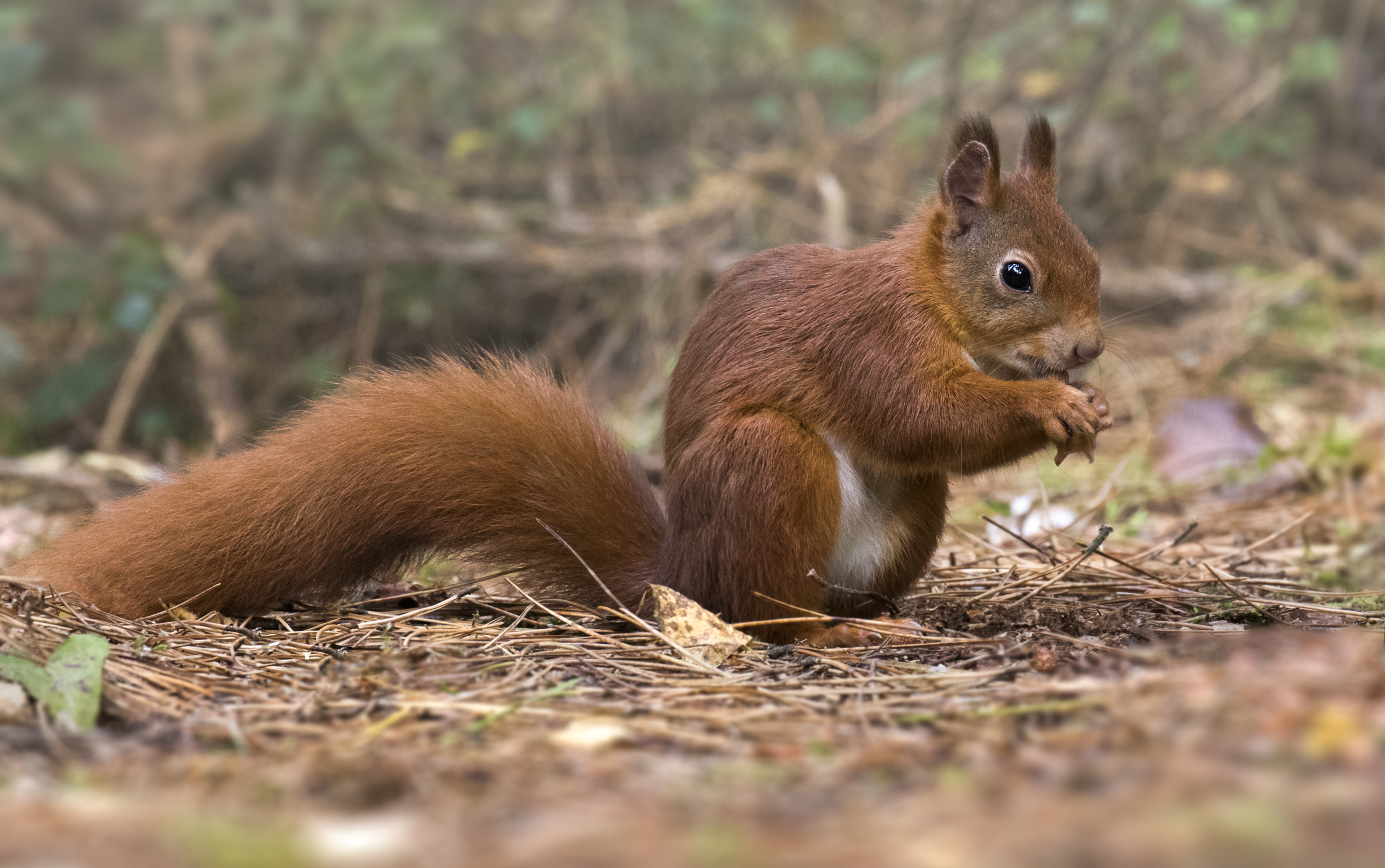 Red Squirrel Full Floor 11th October.png