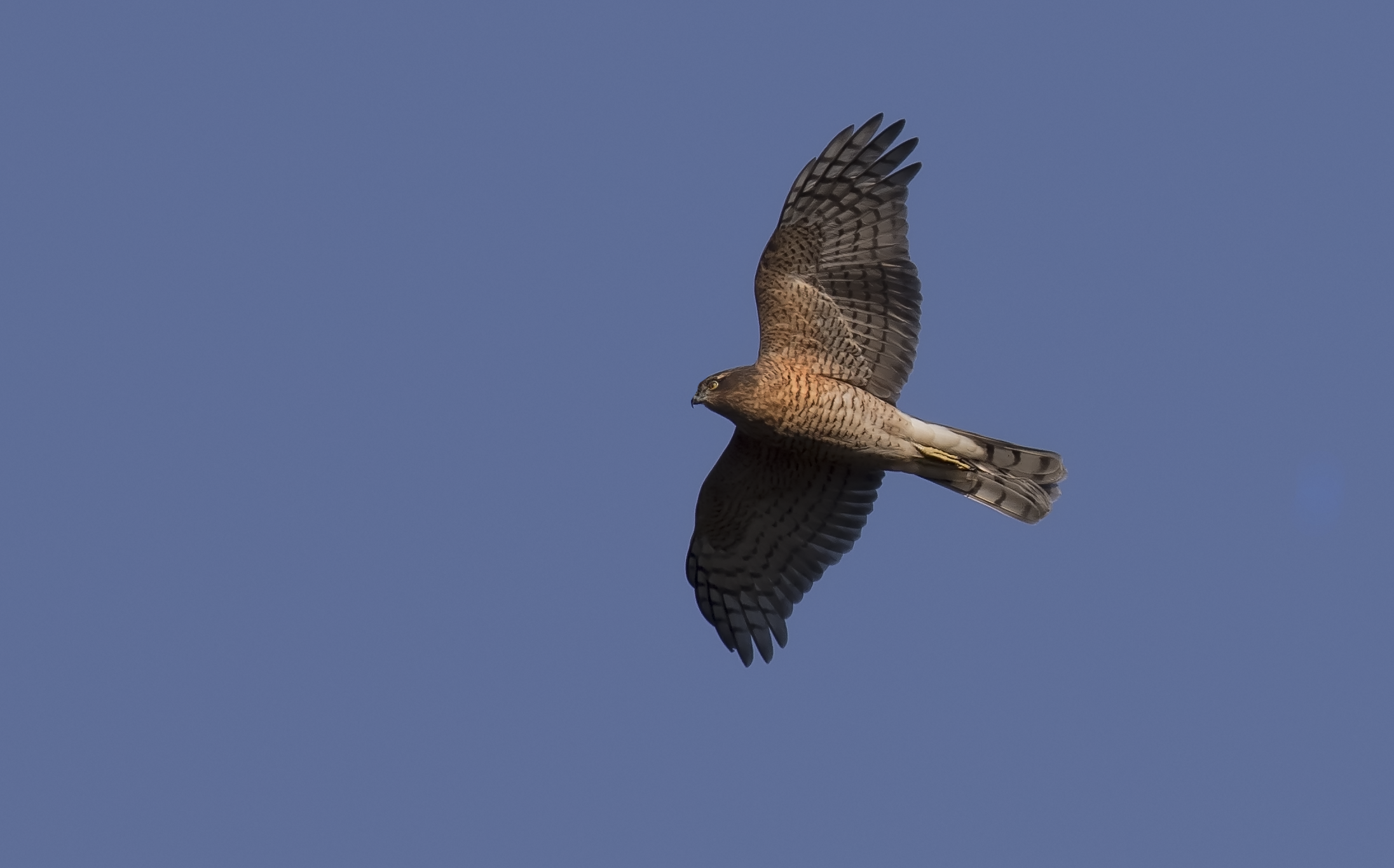 Male Sparrowhawk 12th October.png