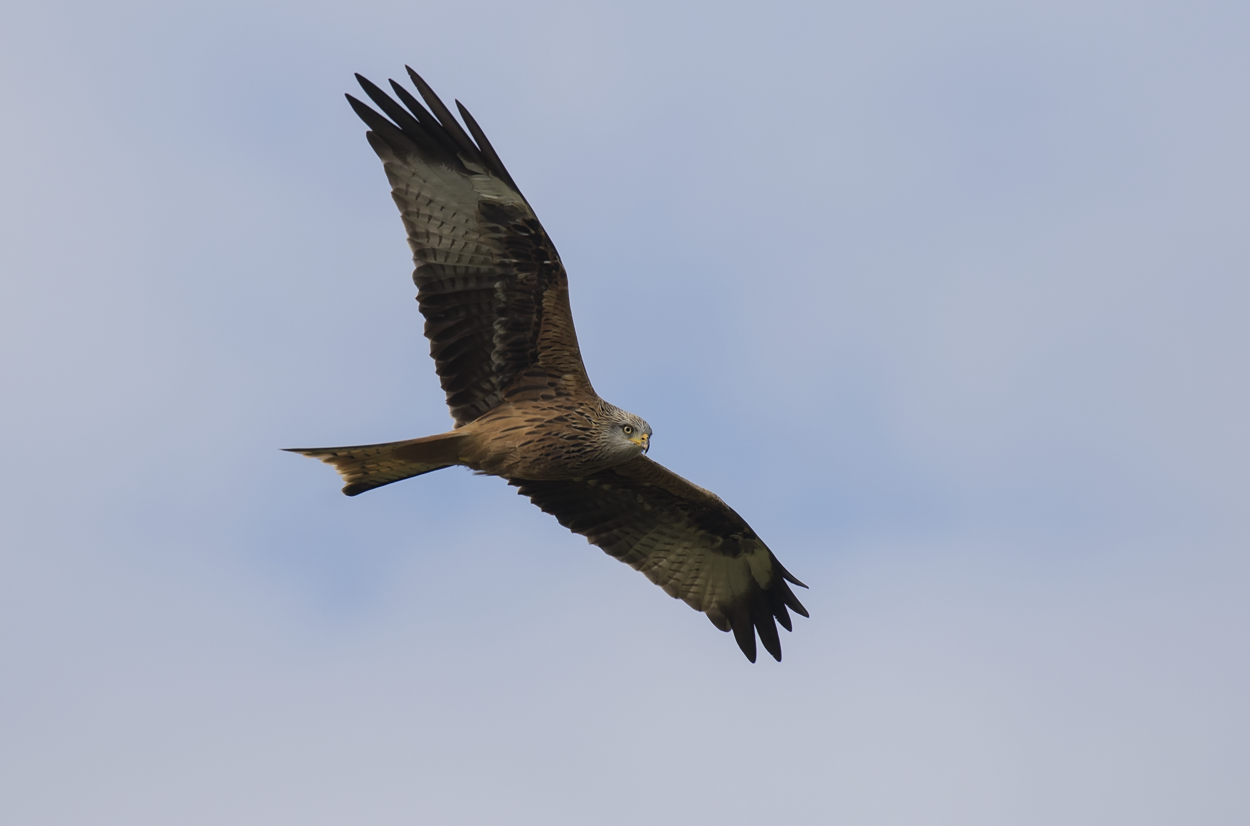 Redkite Flight 15th October.png