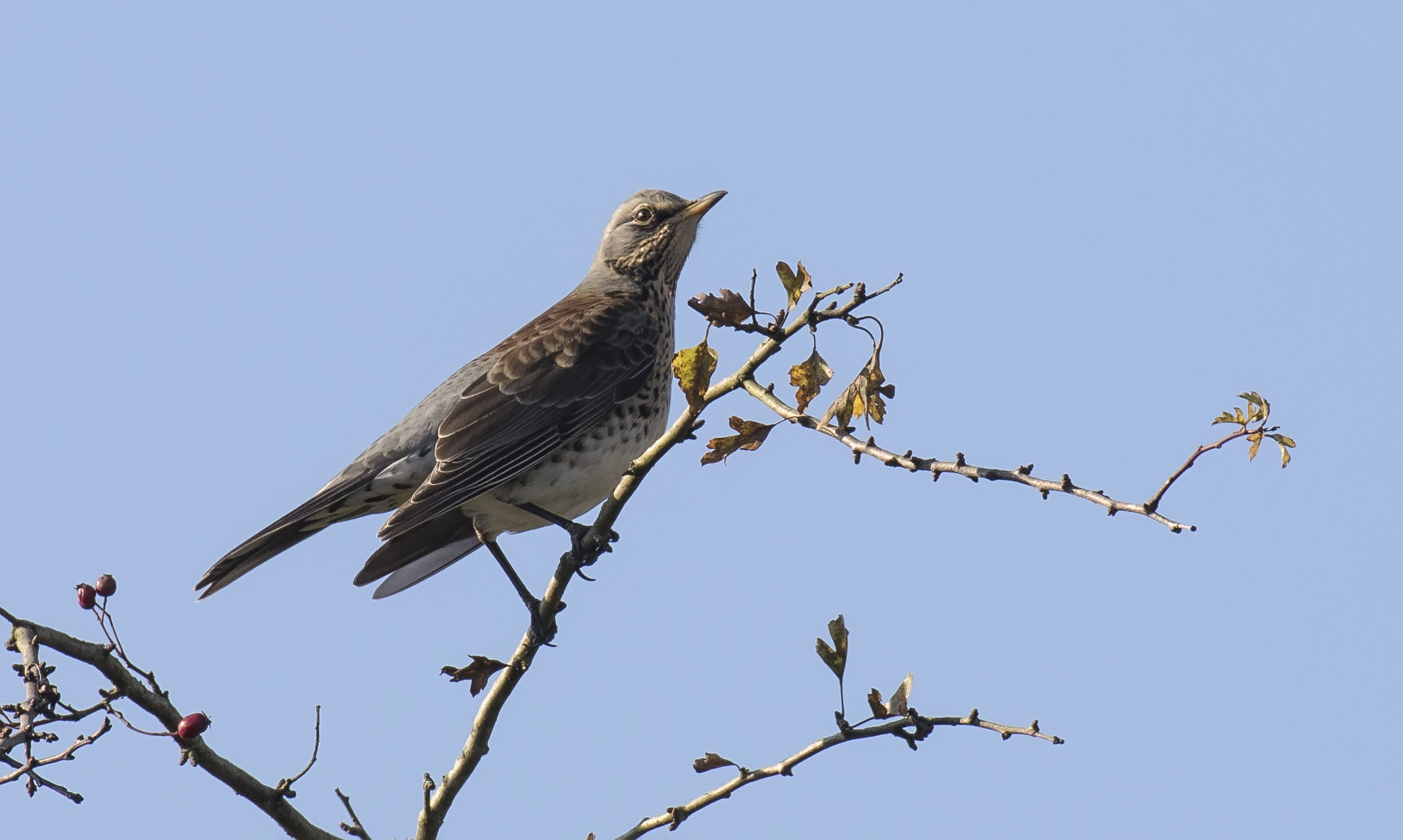 Fieldfare 15th October.png