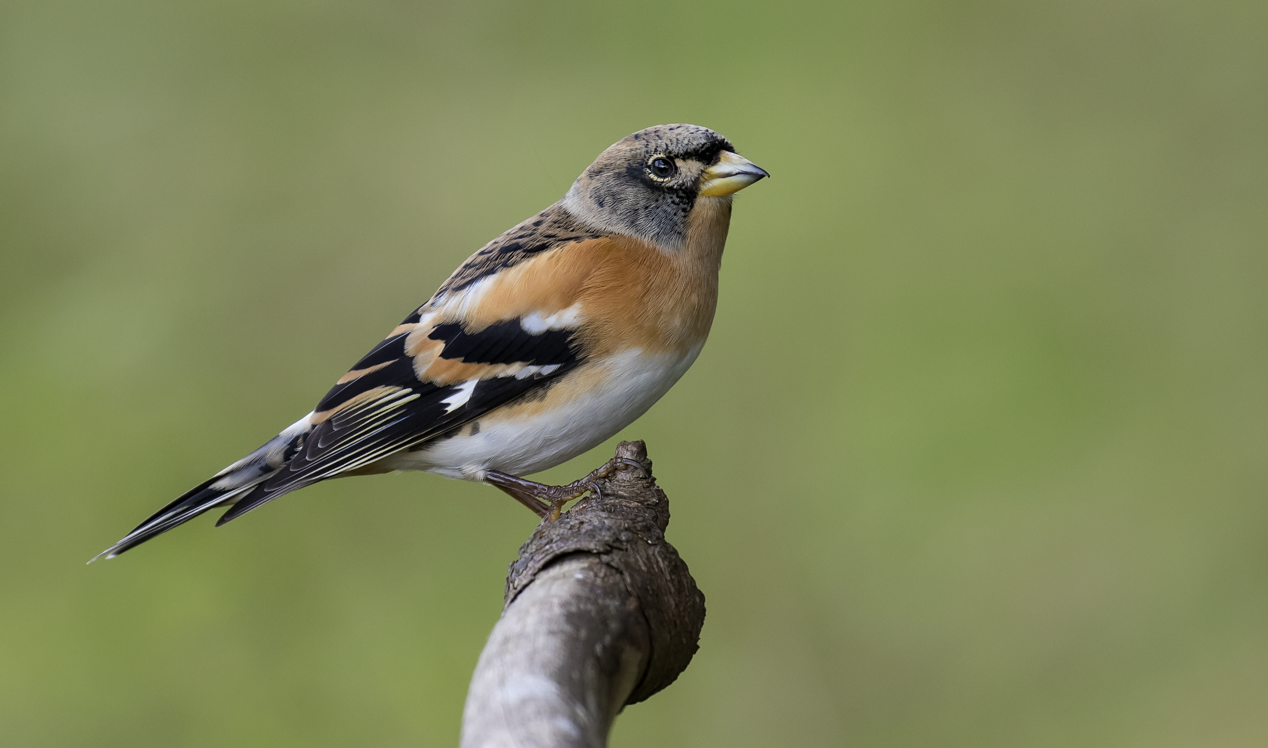 Male Brambling Best15th October.png