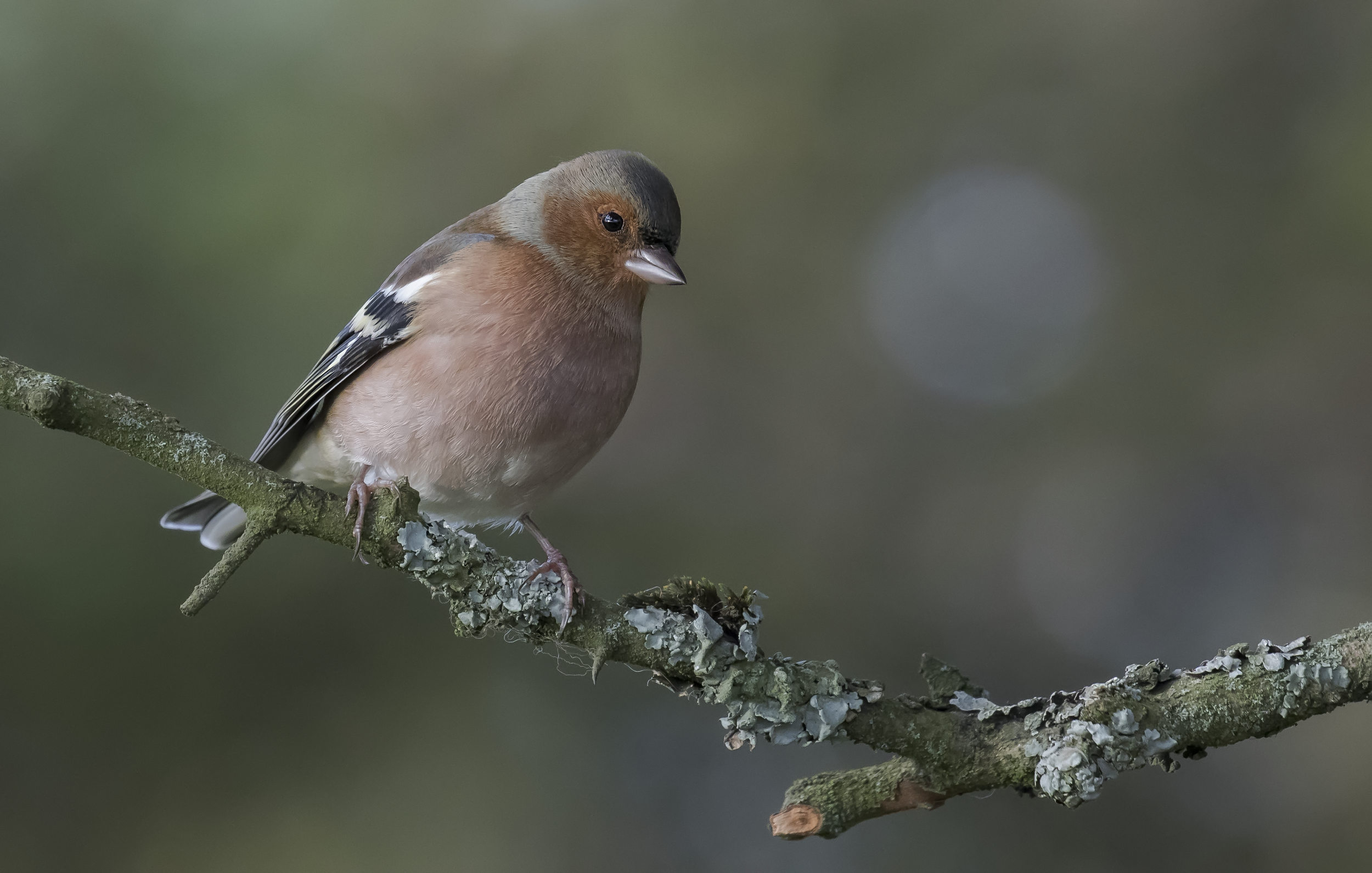 Chaffinch 17th October.png