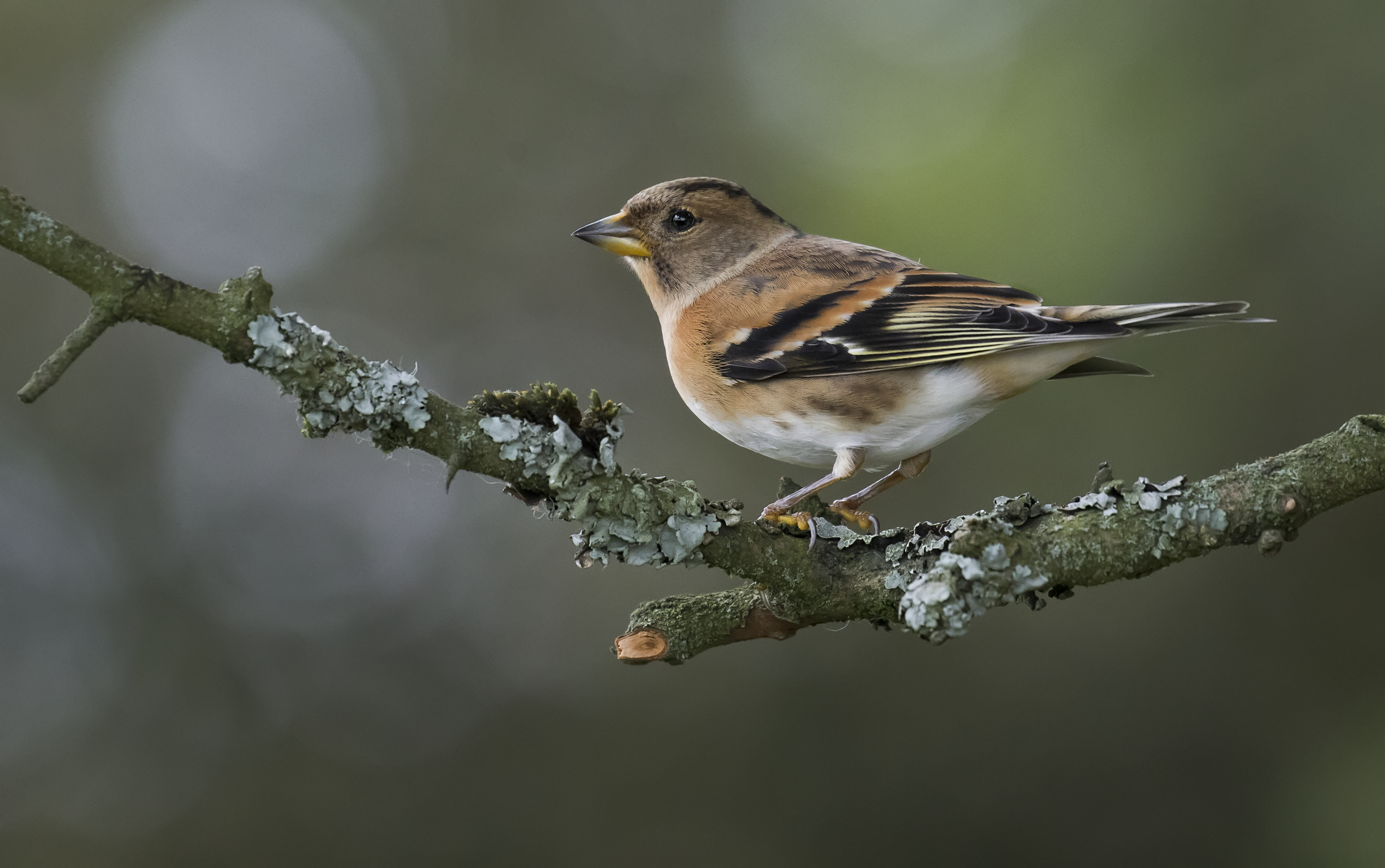 Female Brambling Best 17th October.png