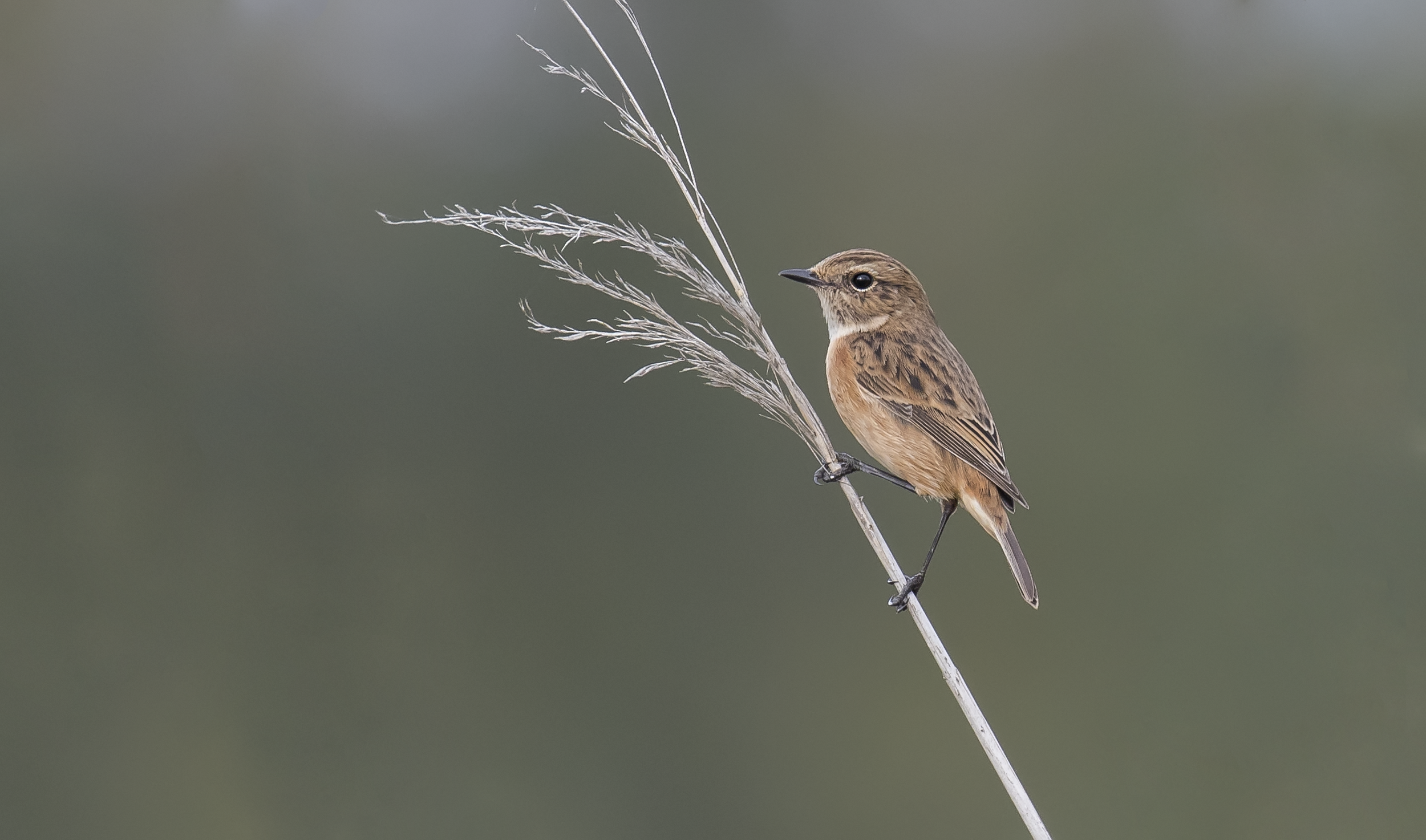 Female Stonechat 18th October.png