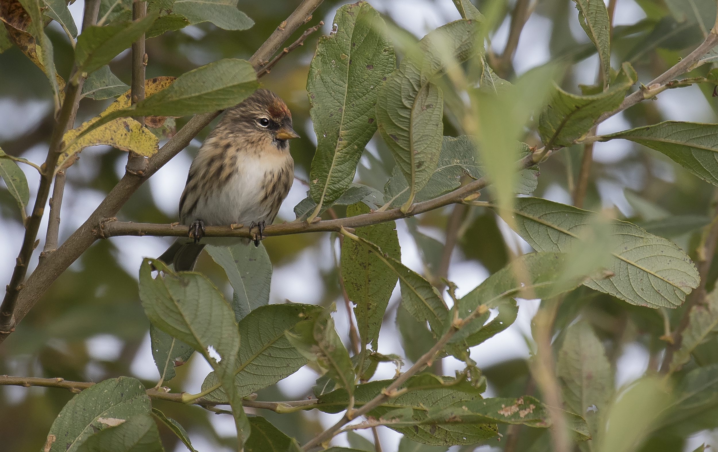 Redpoll 18th October.png