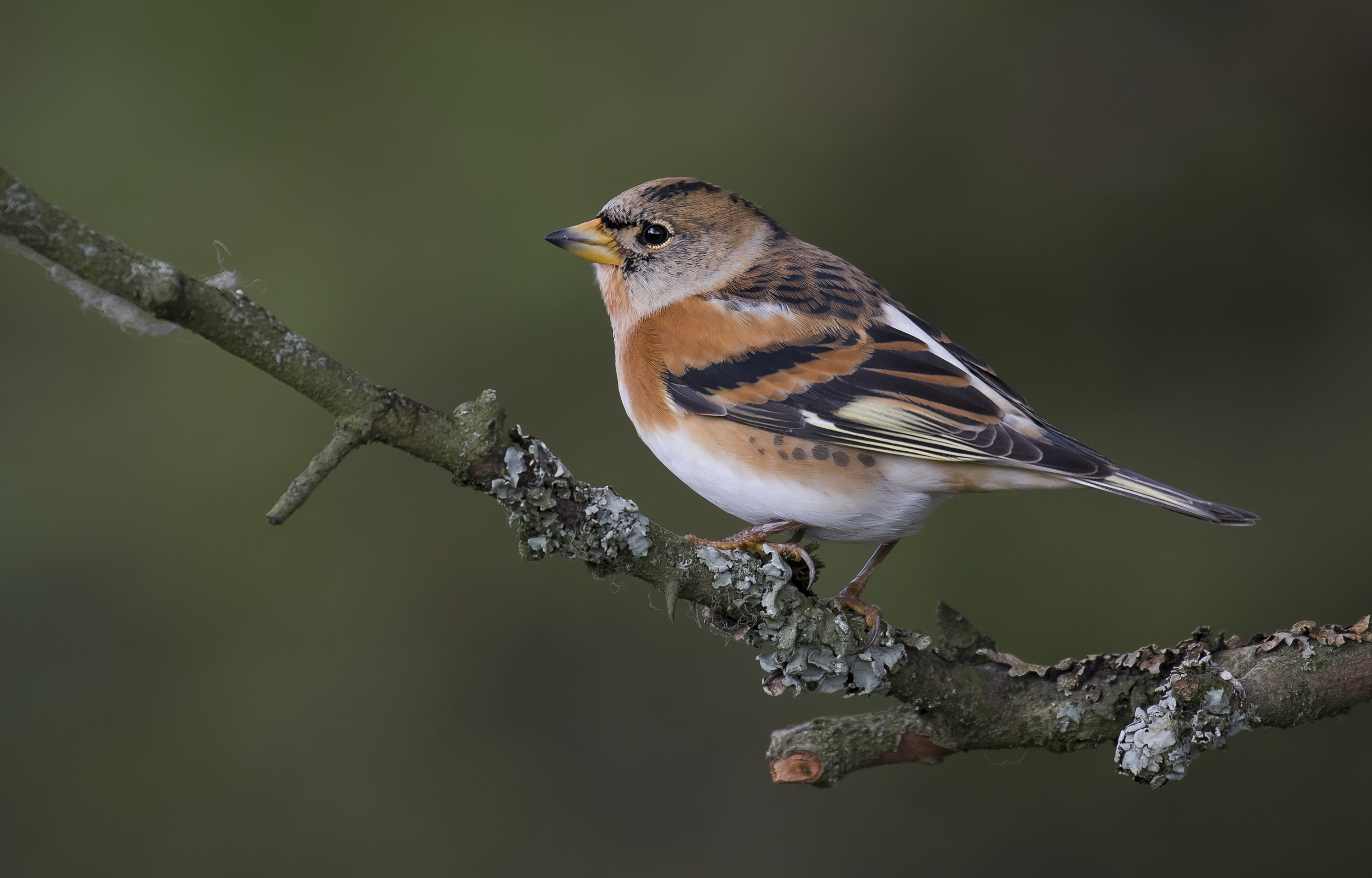 Female Brambling Best 22nd October.png