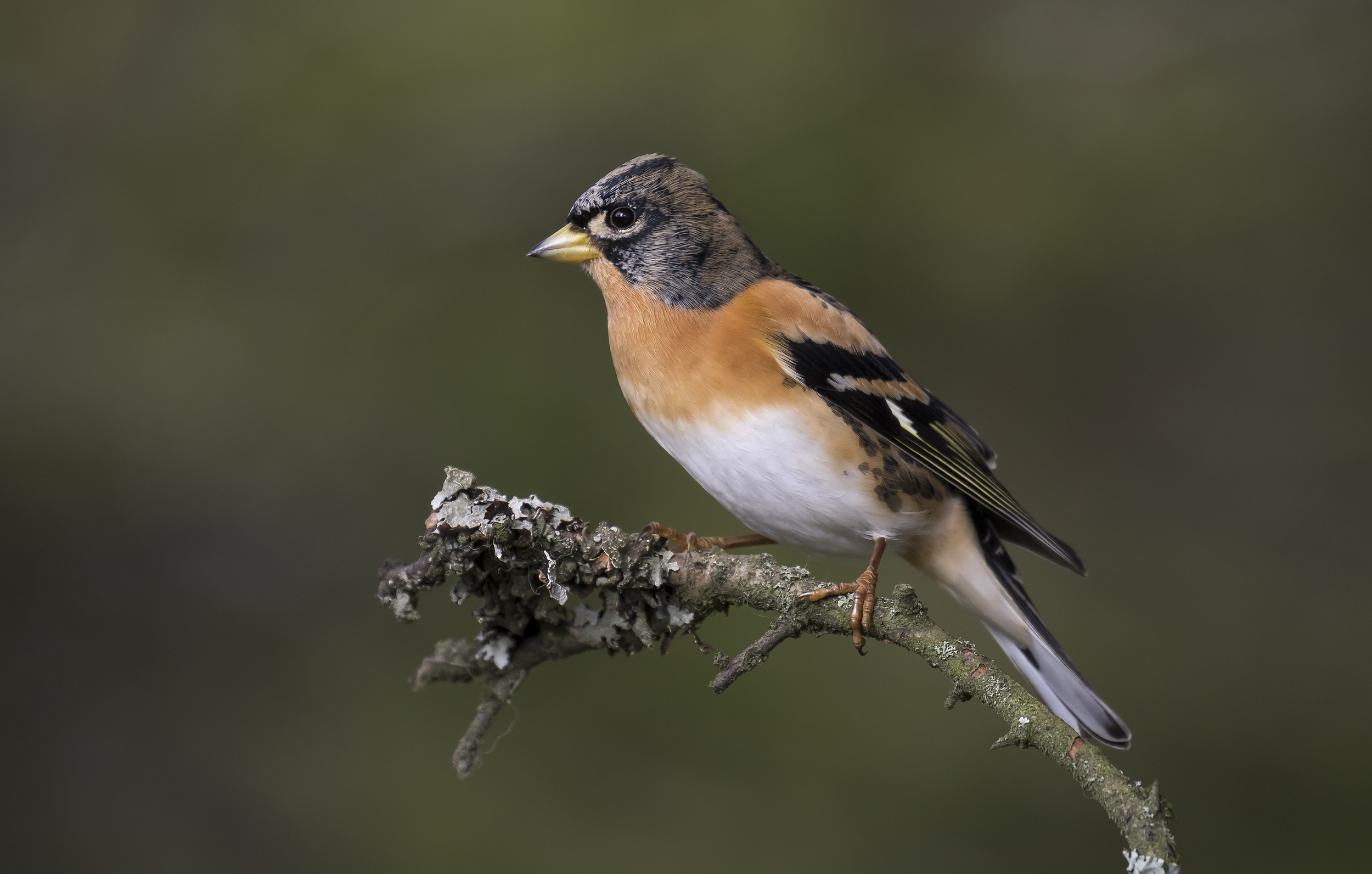 Male Brambling Nice Light 22nd October.png