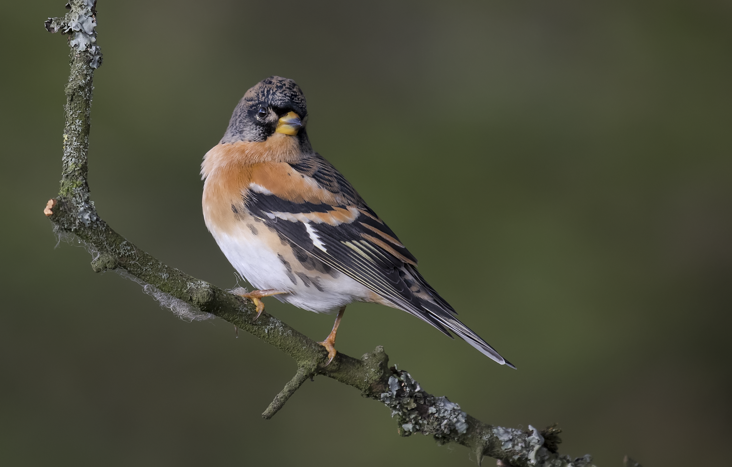 Best Male Brambling Pose 22nd October.png