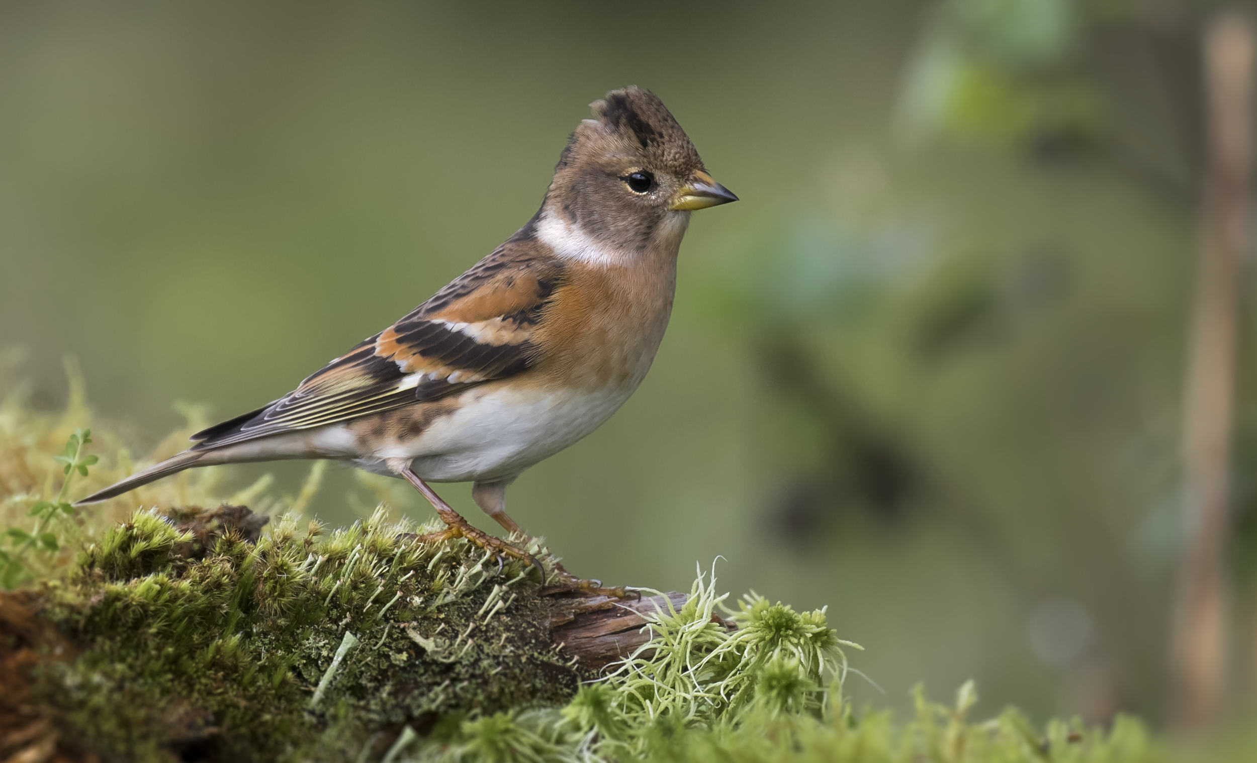 Female Brambling 23rd October.png