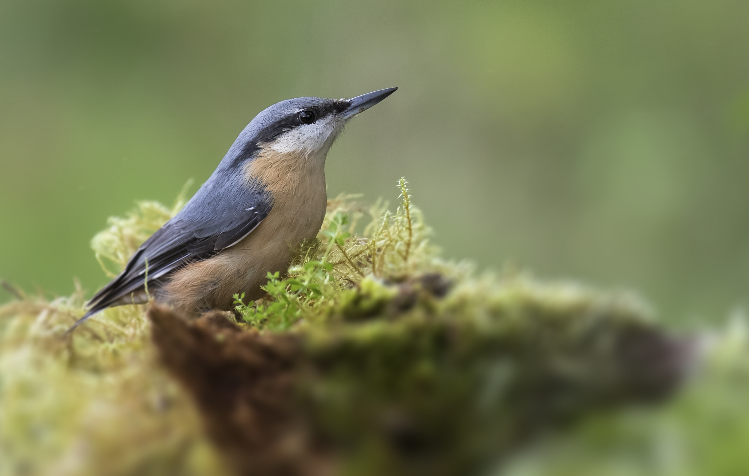 Nuthatch 23rd October.png