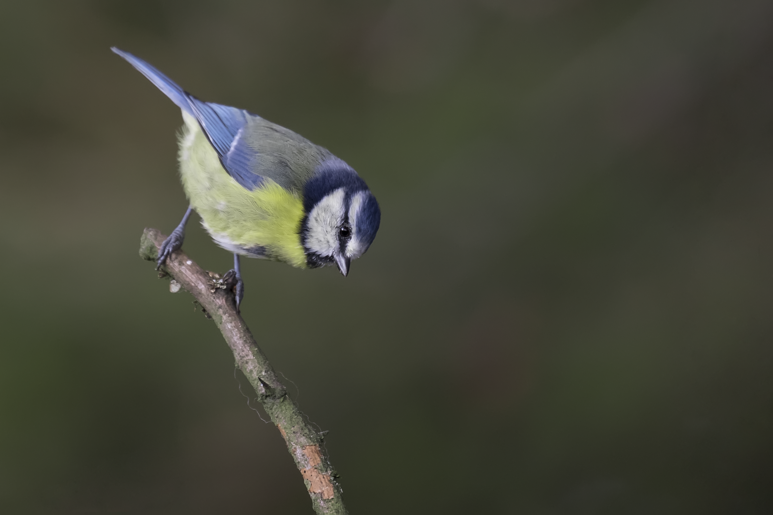 Bluetit Fun 25th October.png