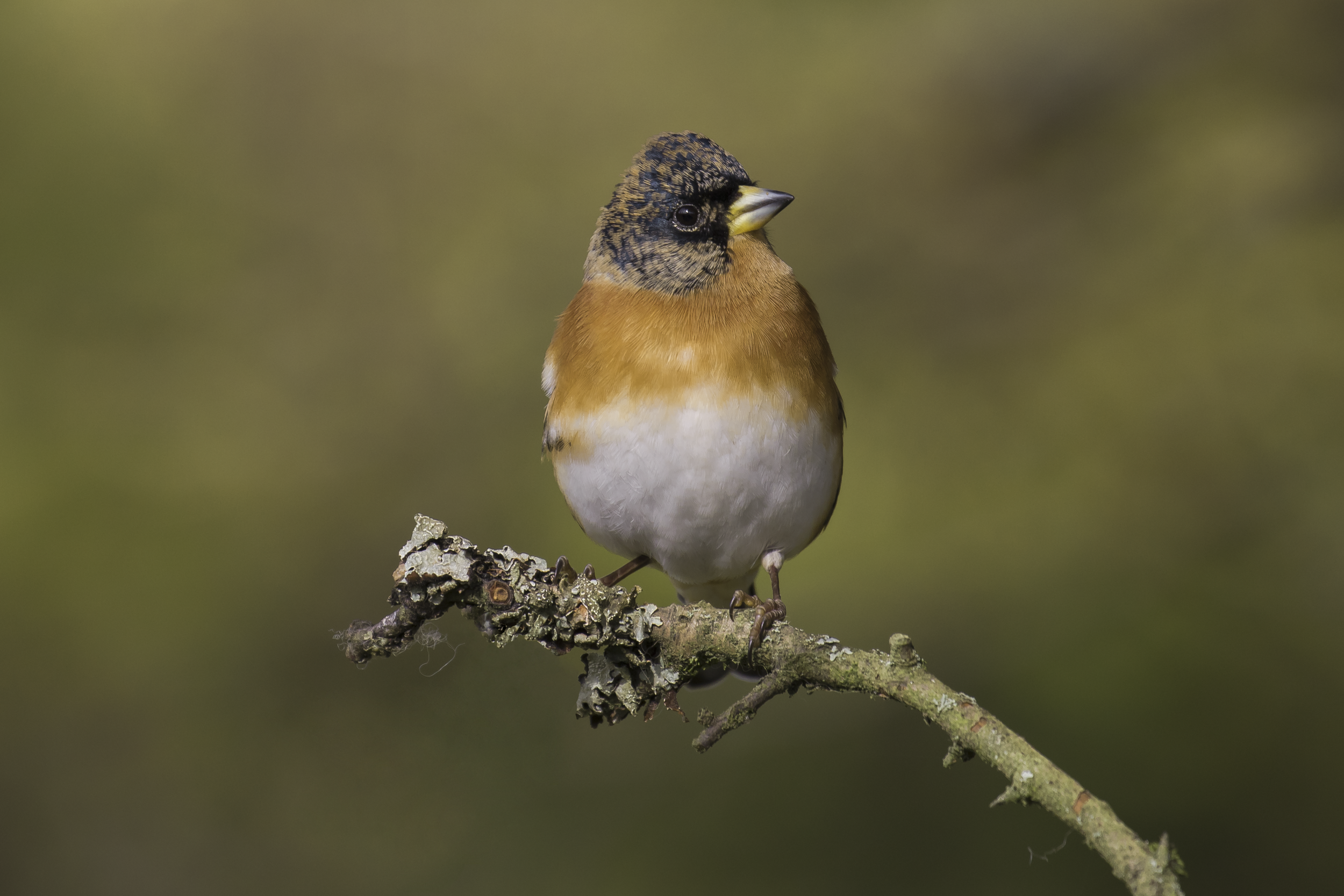 Brambling Nice Background 25th October.png