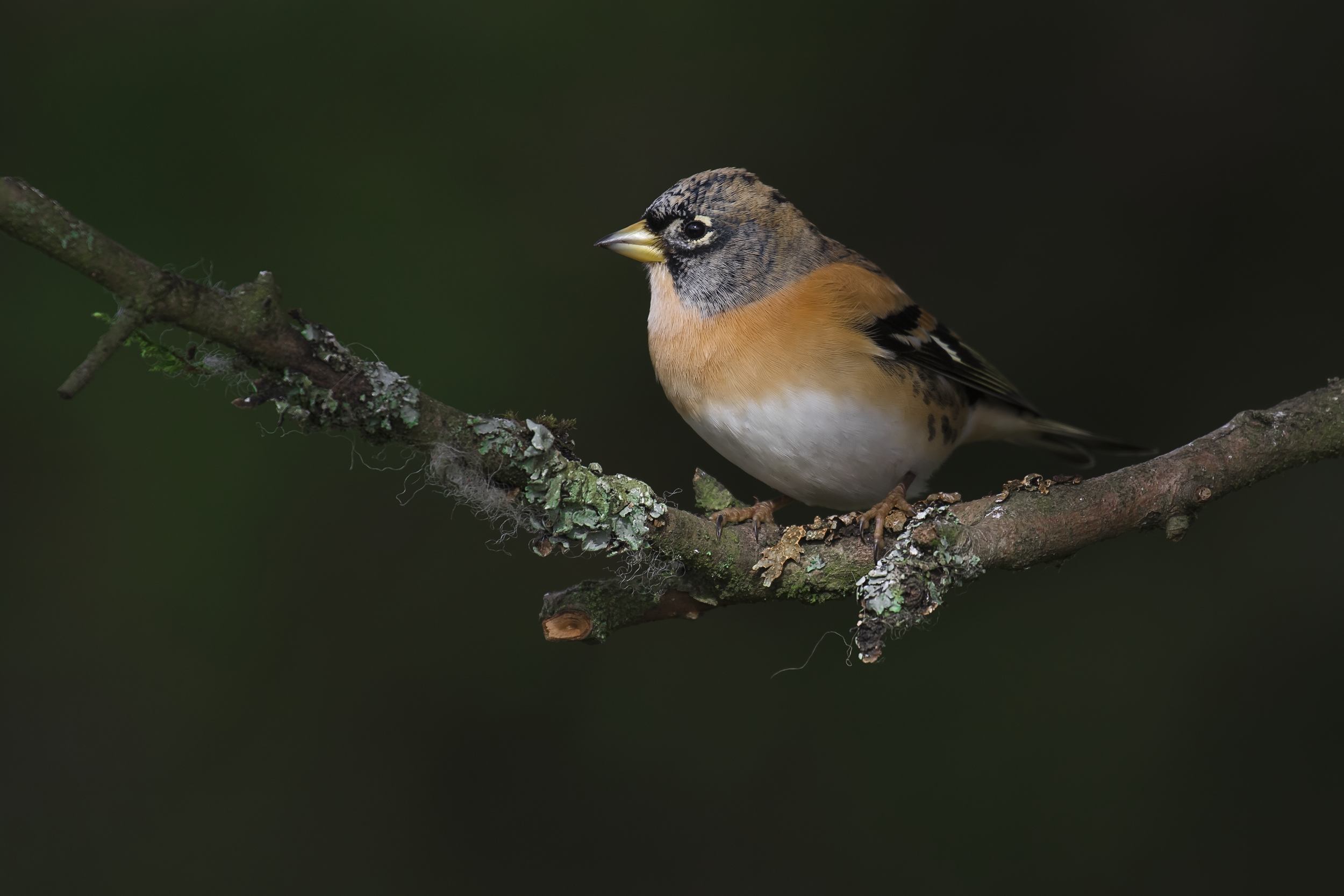 Brambling Nice Exposure 25th October.png