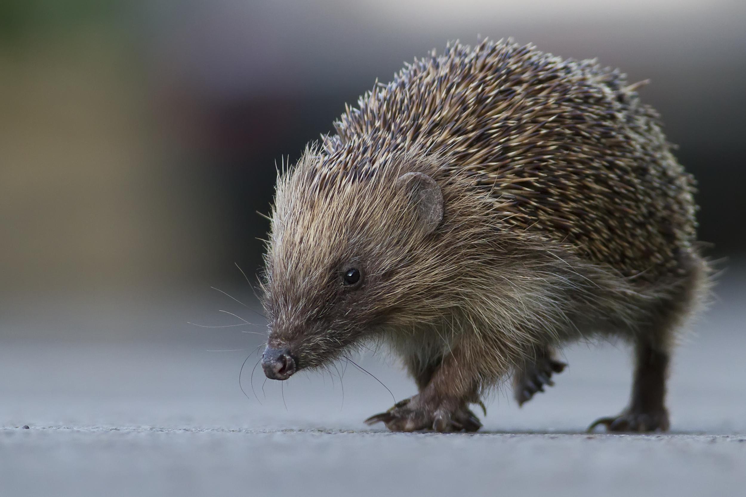 Hedgehog August
