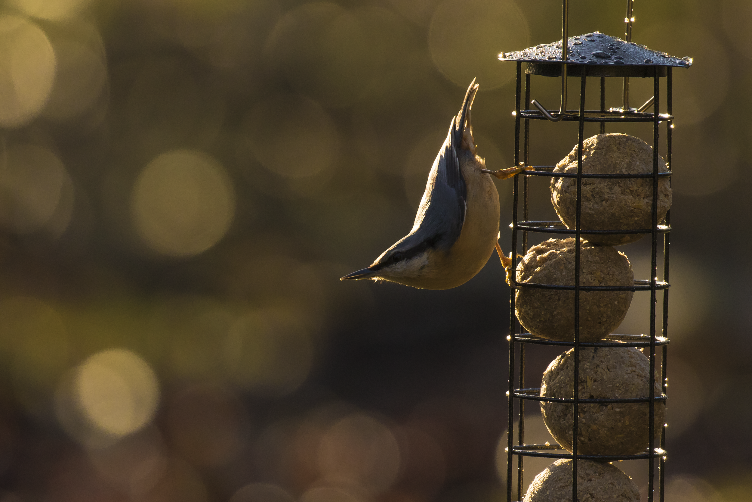 Nuthatch Feeders 24th December.png