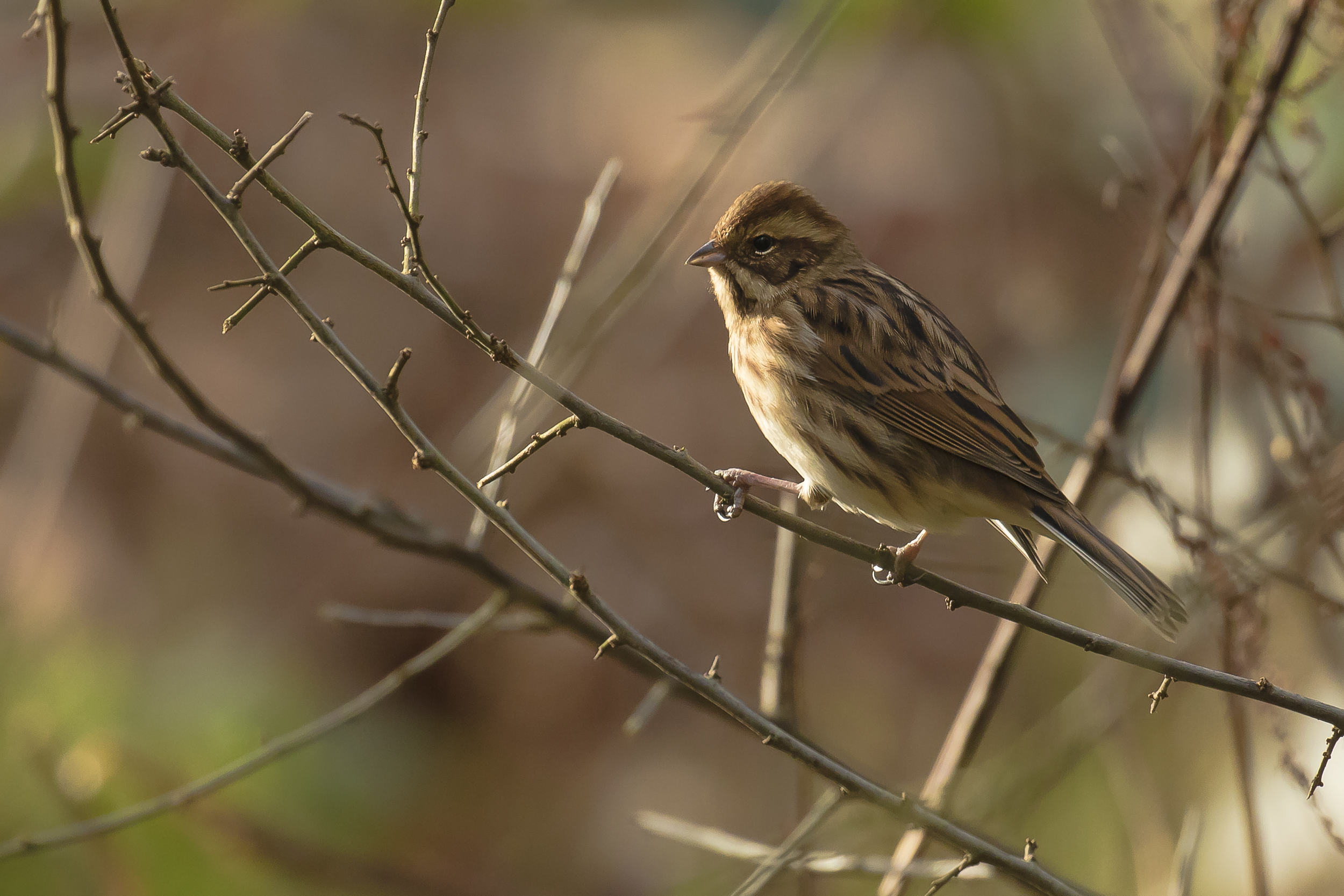 Reed Bunting 24th December.png