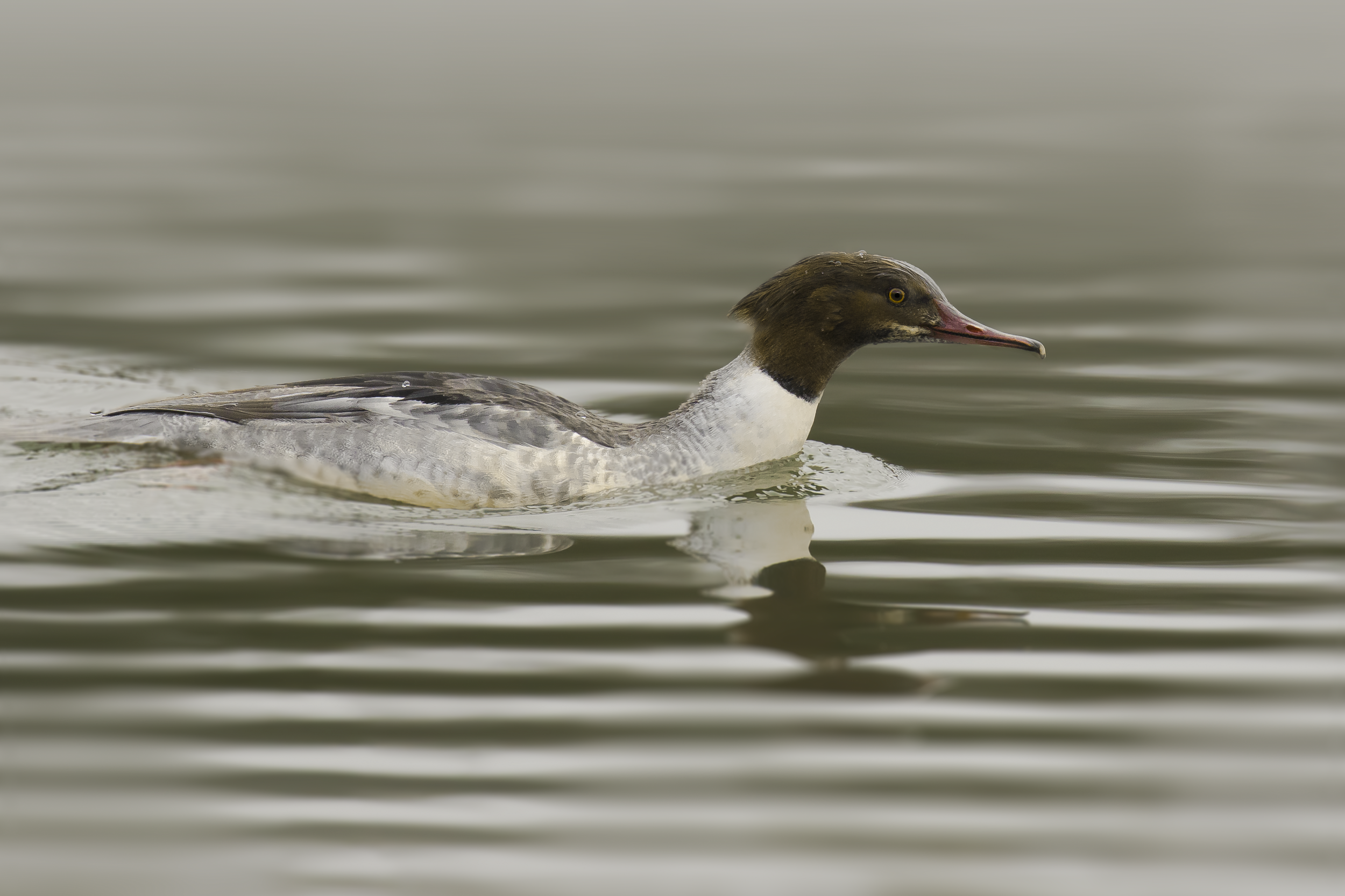 Female Goosander 2nd January.png