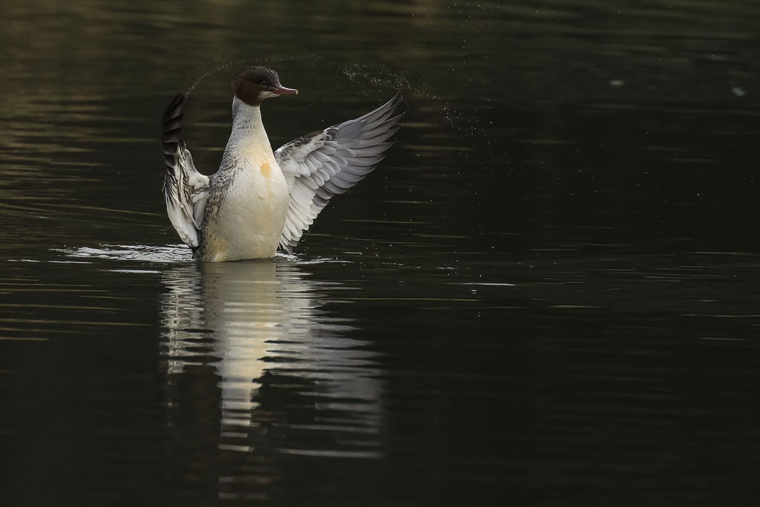 Goosander Flappy 2nd January 16.png