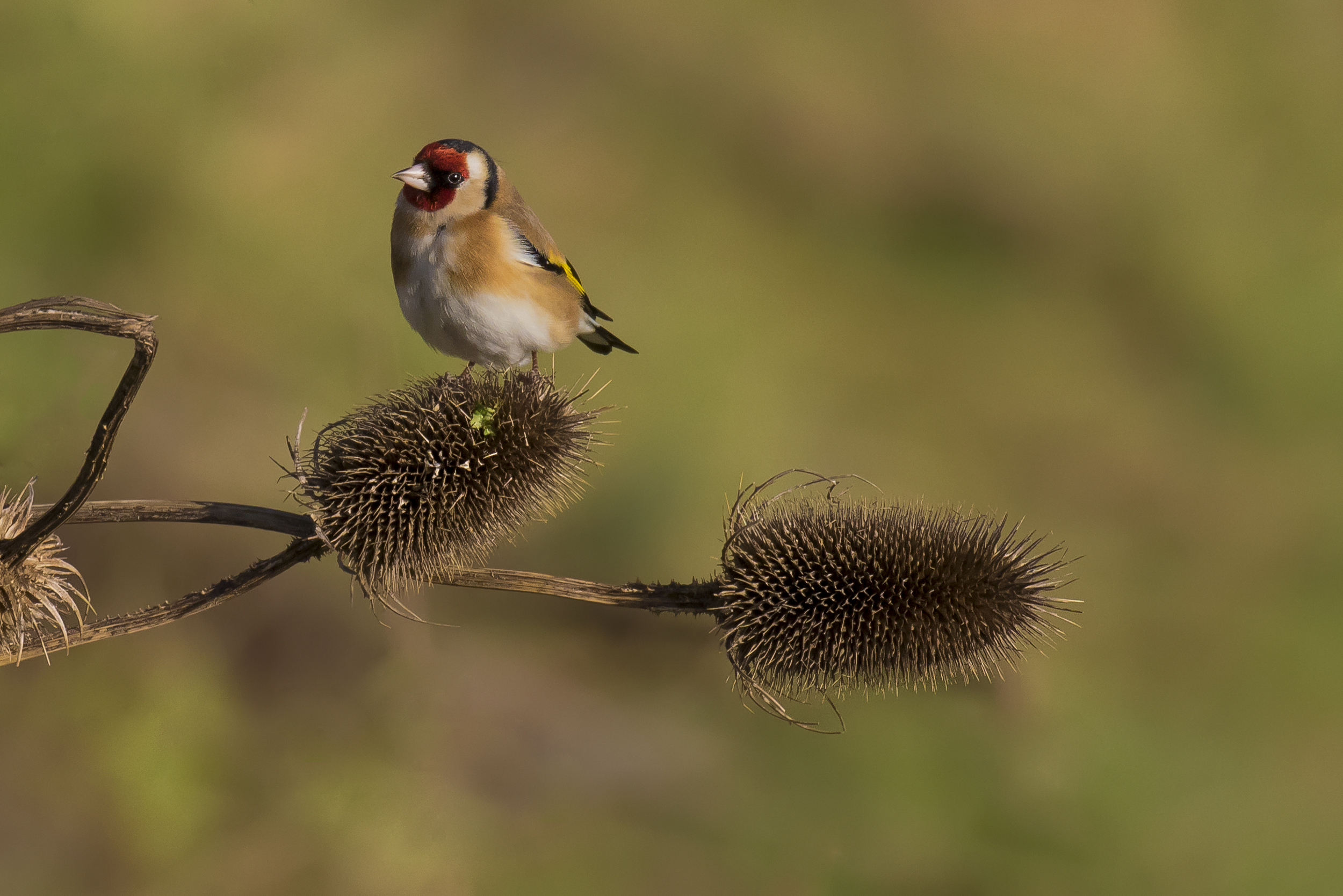 Goldfinch on Thistle 7th January.png