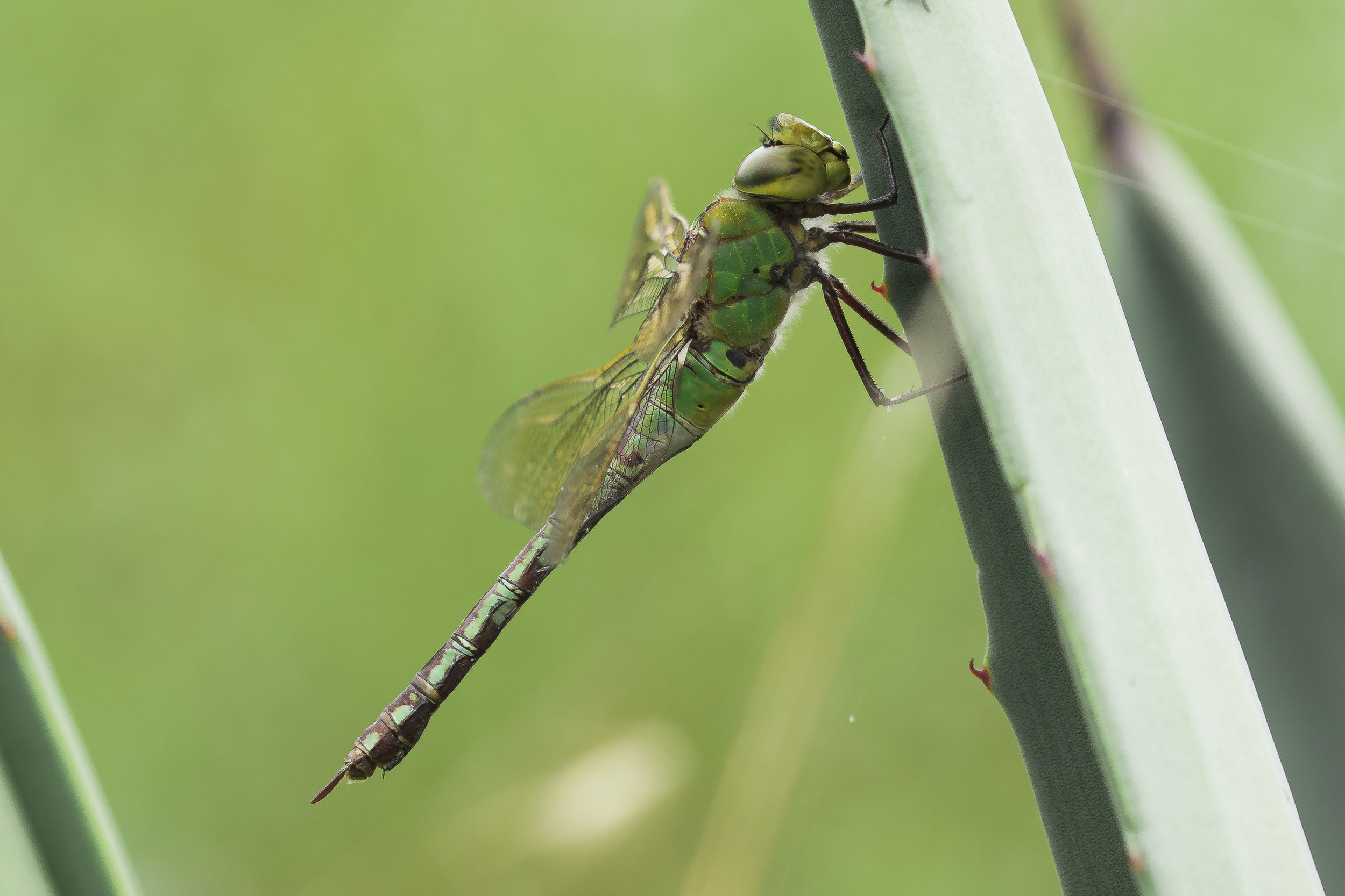 Female Emperor Dragonfly (I assume)