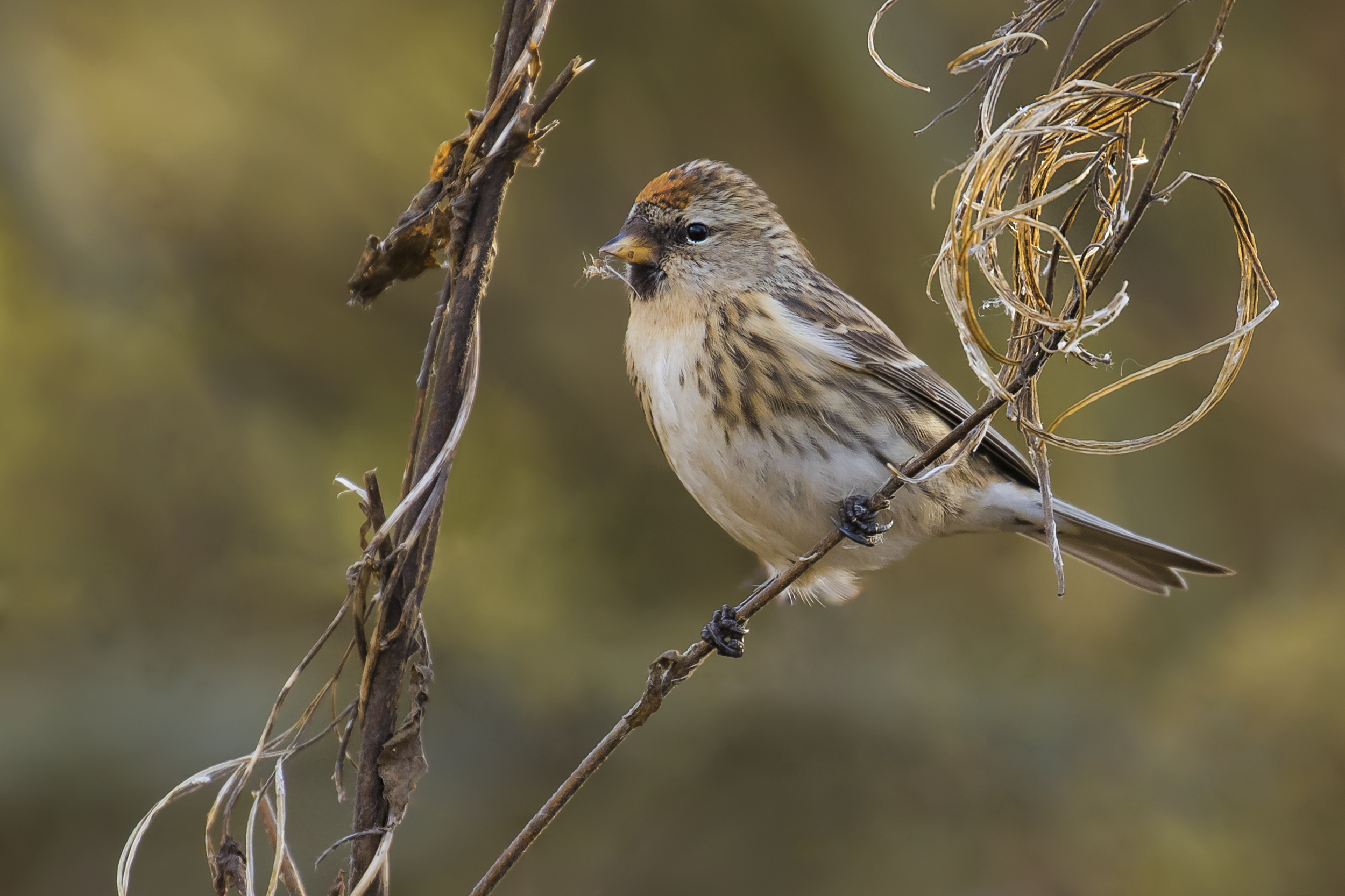 Redpoll Natural 28th January.png
