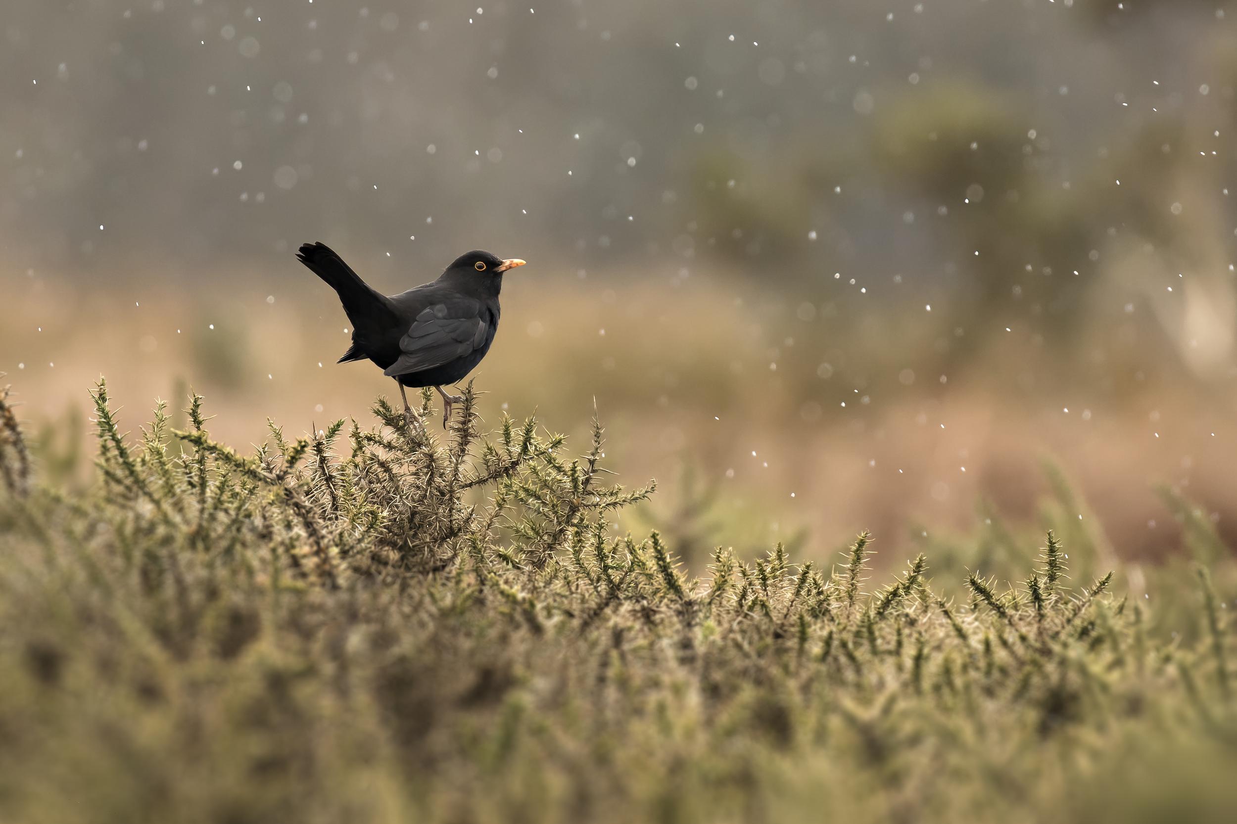 Blackbird in Blizzard