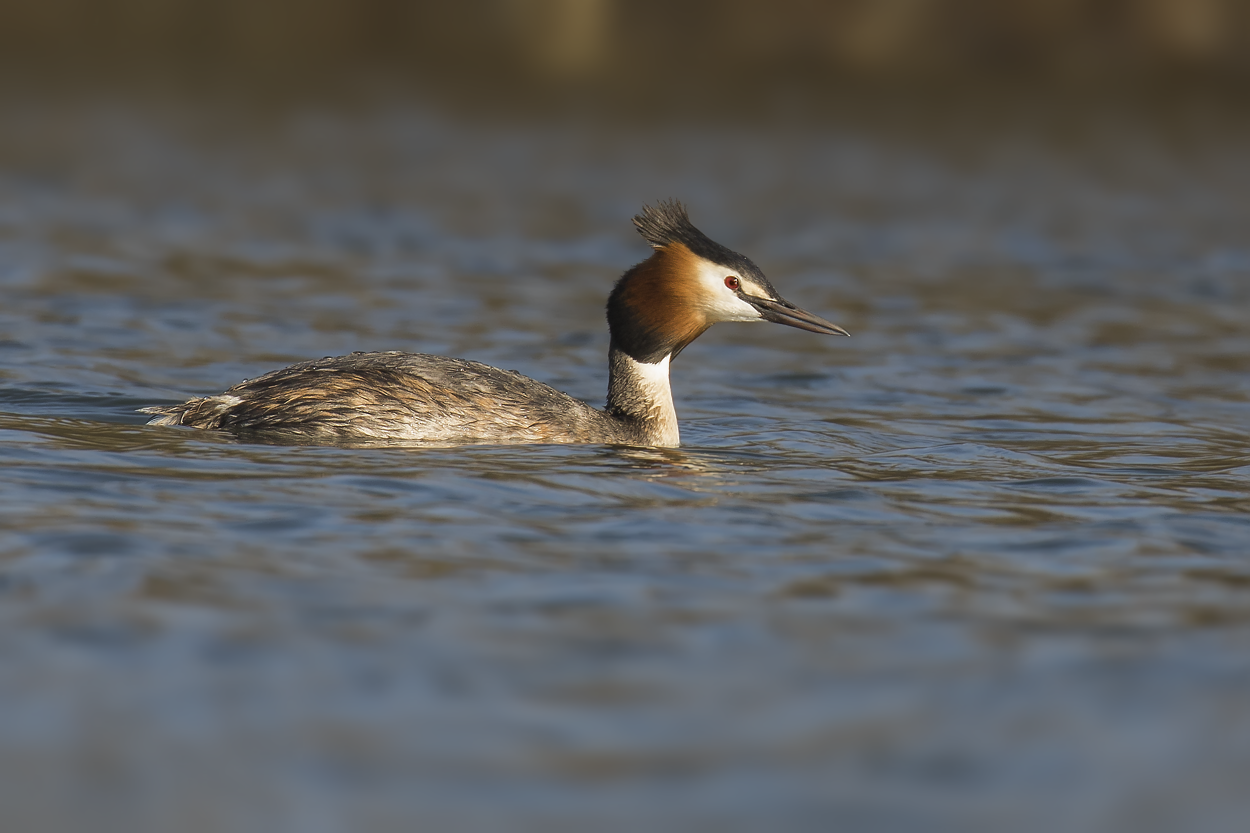 Great Crested Grebe 13th March.png