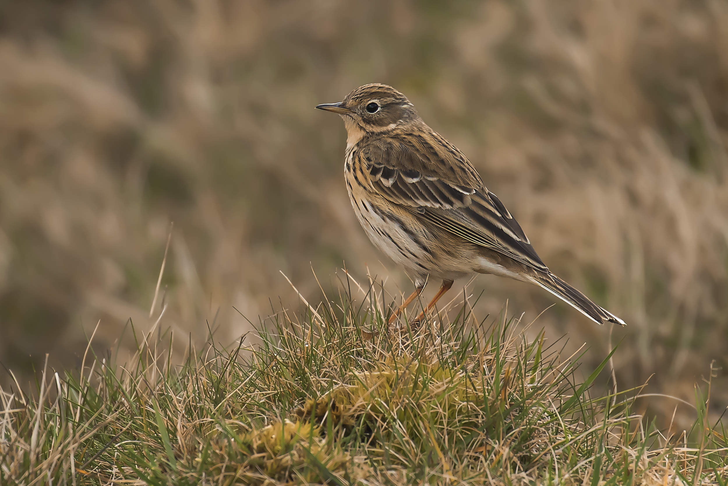 Meadow Pipit Crop 39th March.png
